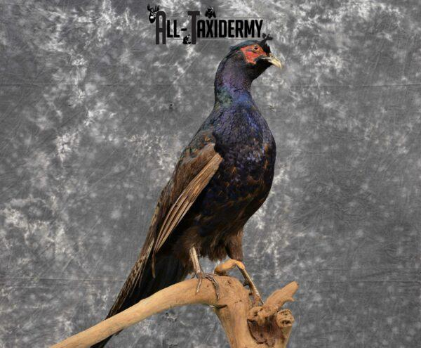 Black Pheasant mount