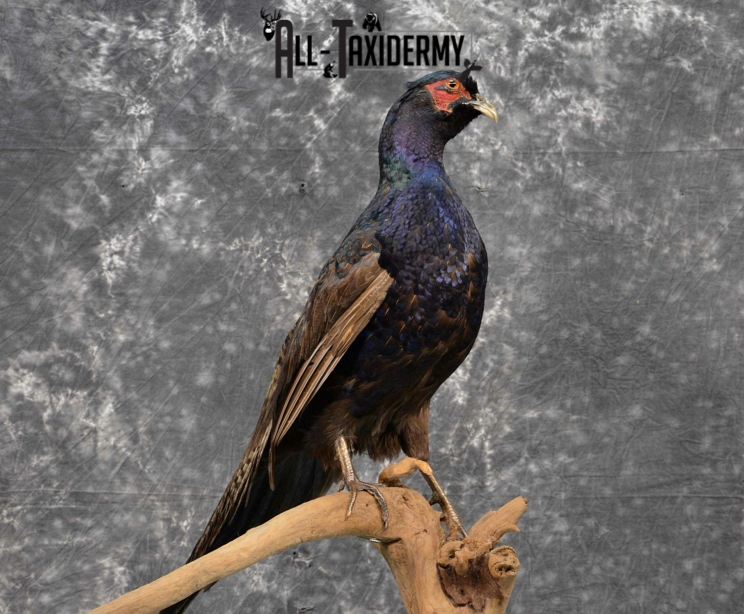 Black Pheasant Taxidermy Mount for Sale SKU 1111