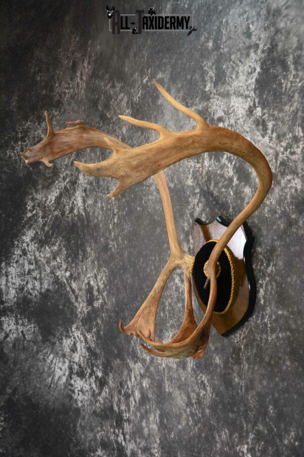 Caribou Antler taxidermy