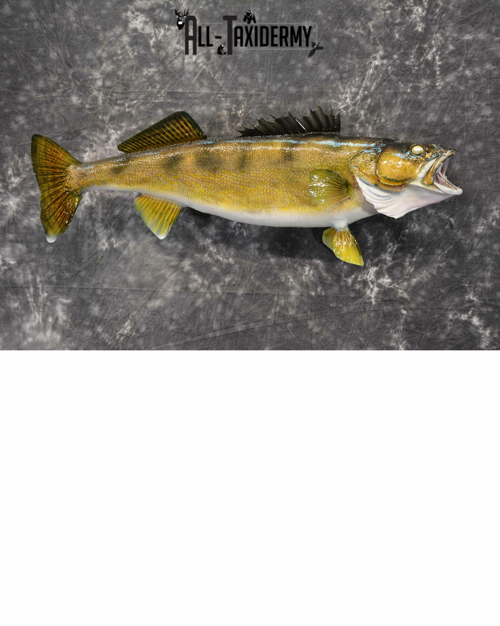 Walleye Skin Taxidermy Mount for Sale SKU1022