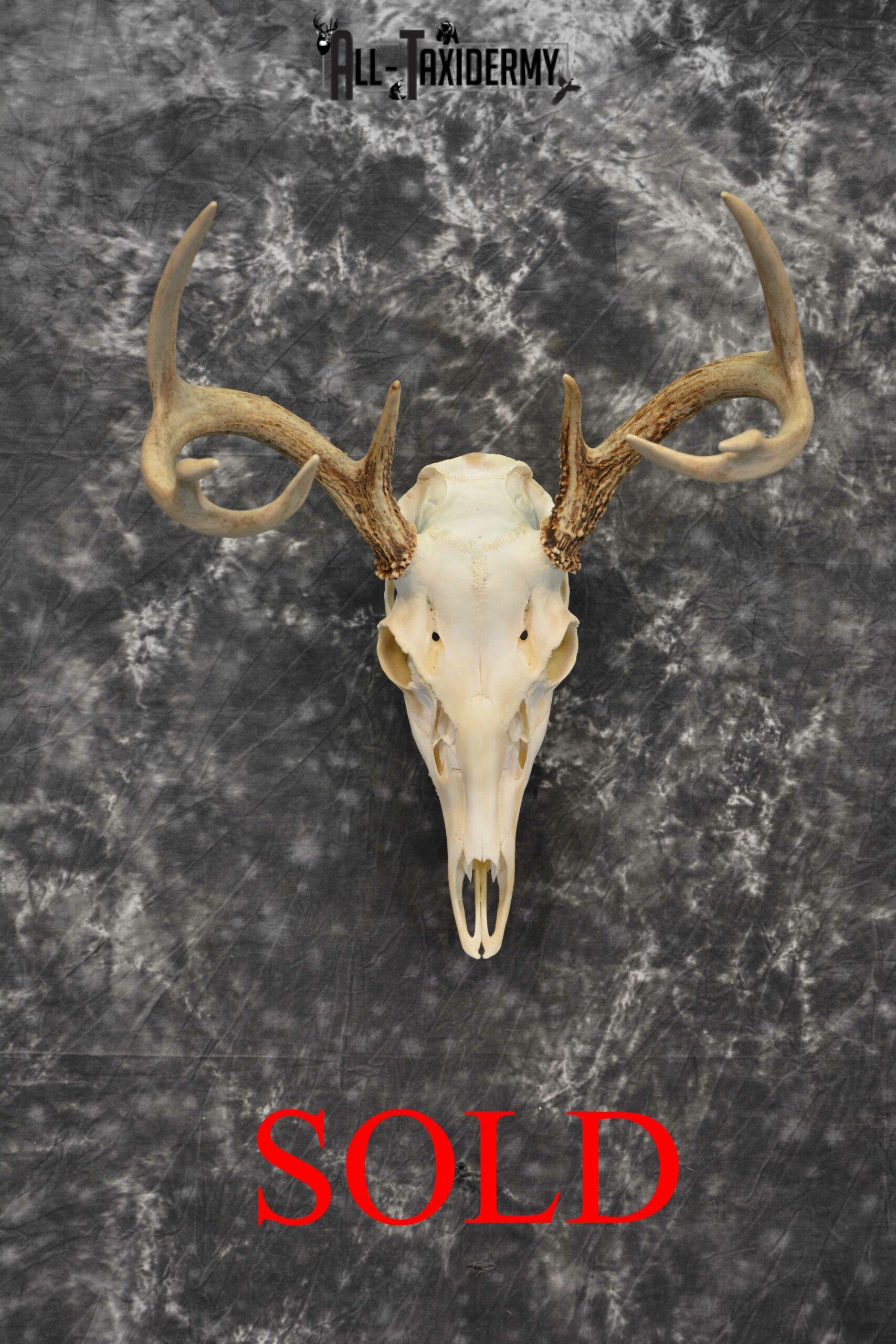 Whitetail Deer European Taxidermy mount for sale SKU 1032