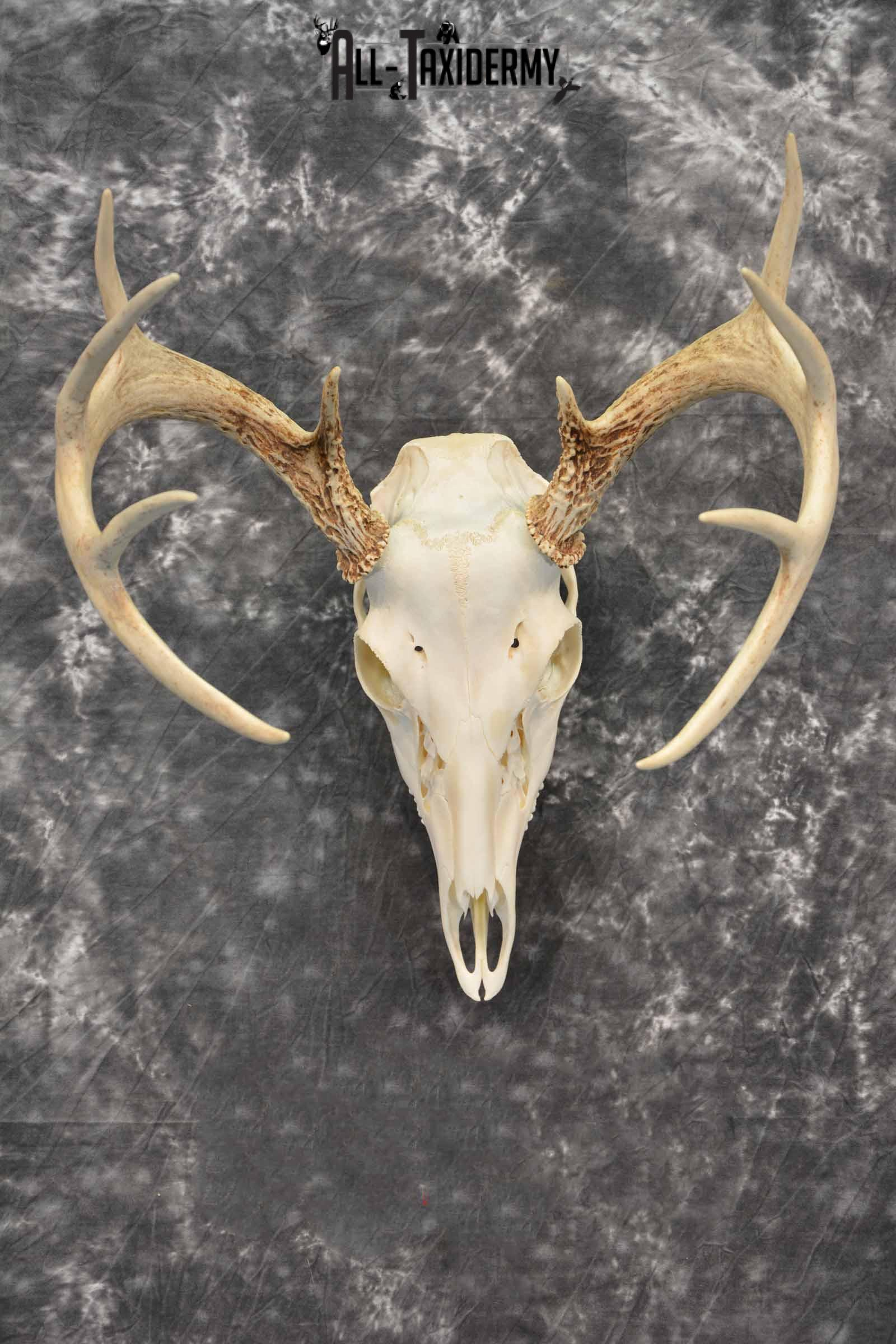 Whitetail Deer European Taxidermy mount for sale SKU 1034