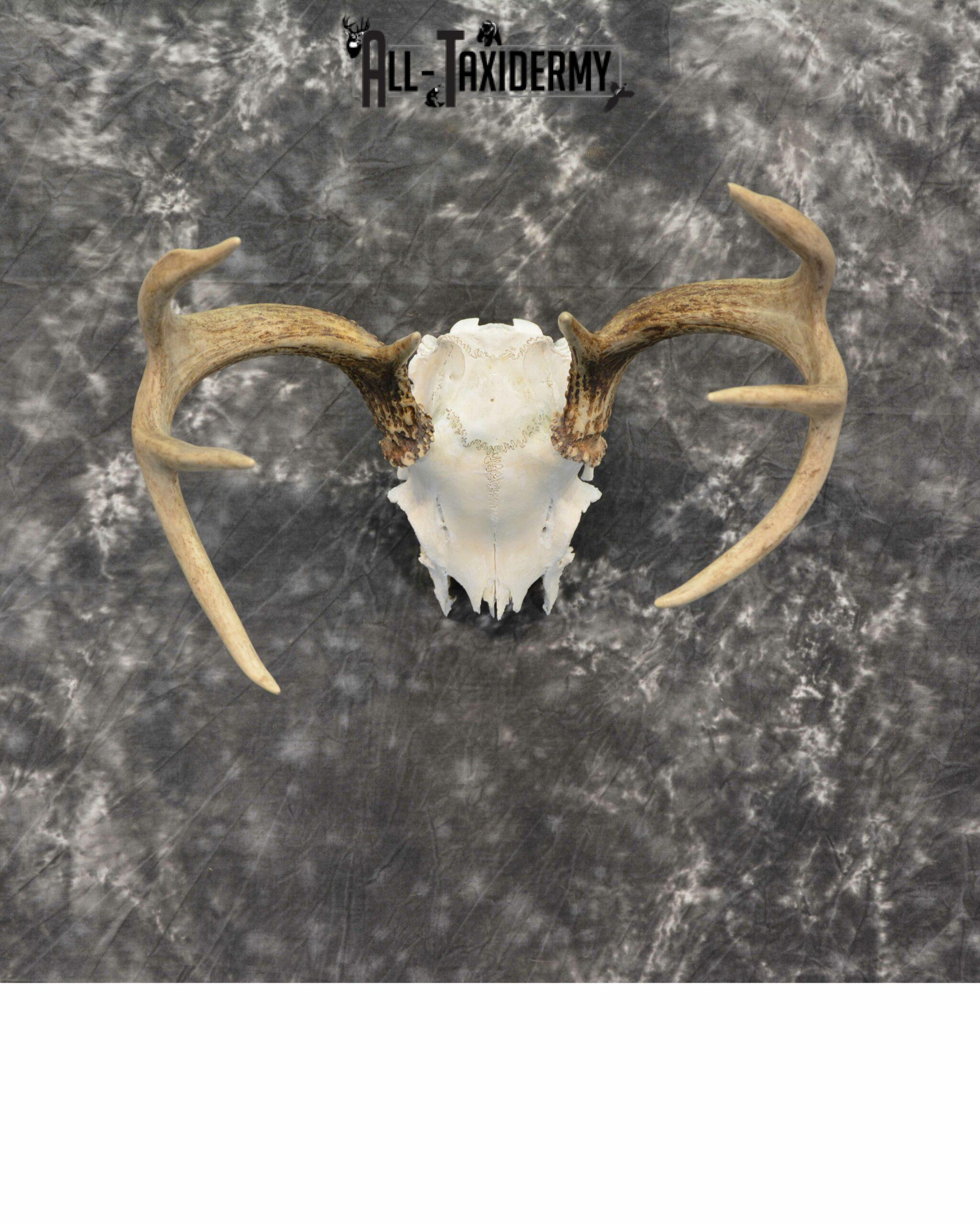 Whitetail Deer European Taxidermy mount for sale SKU 1037