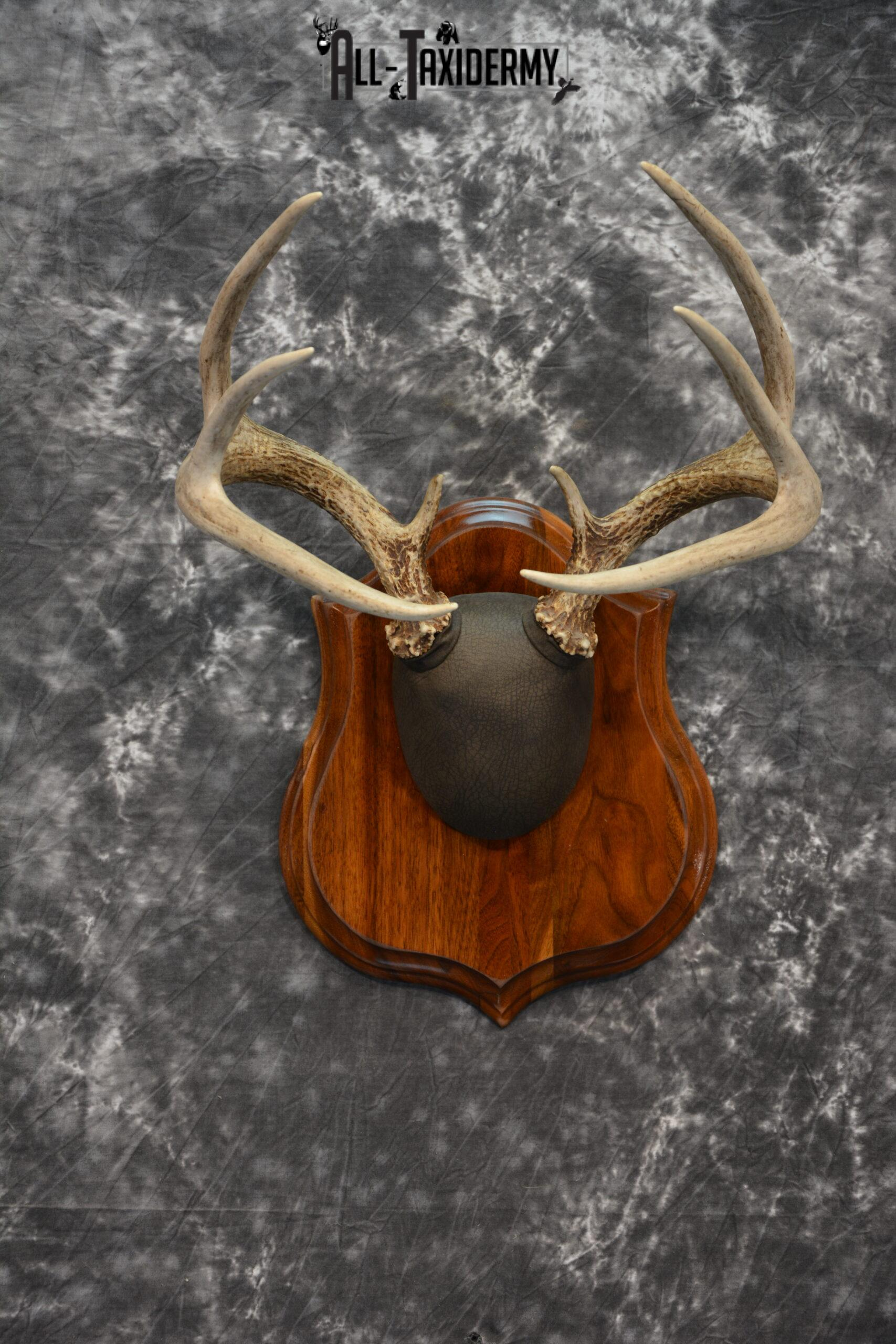 Whitetail Deer Antler plaque Taxidermy mount for Sale SKU 1040