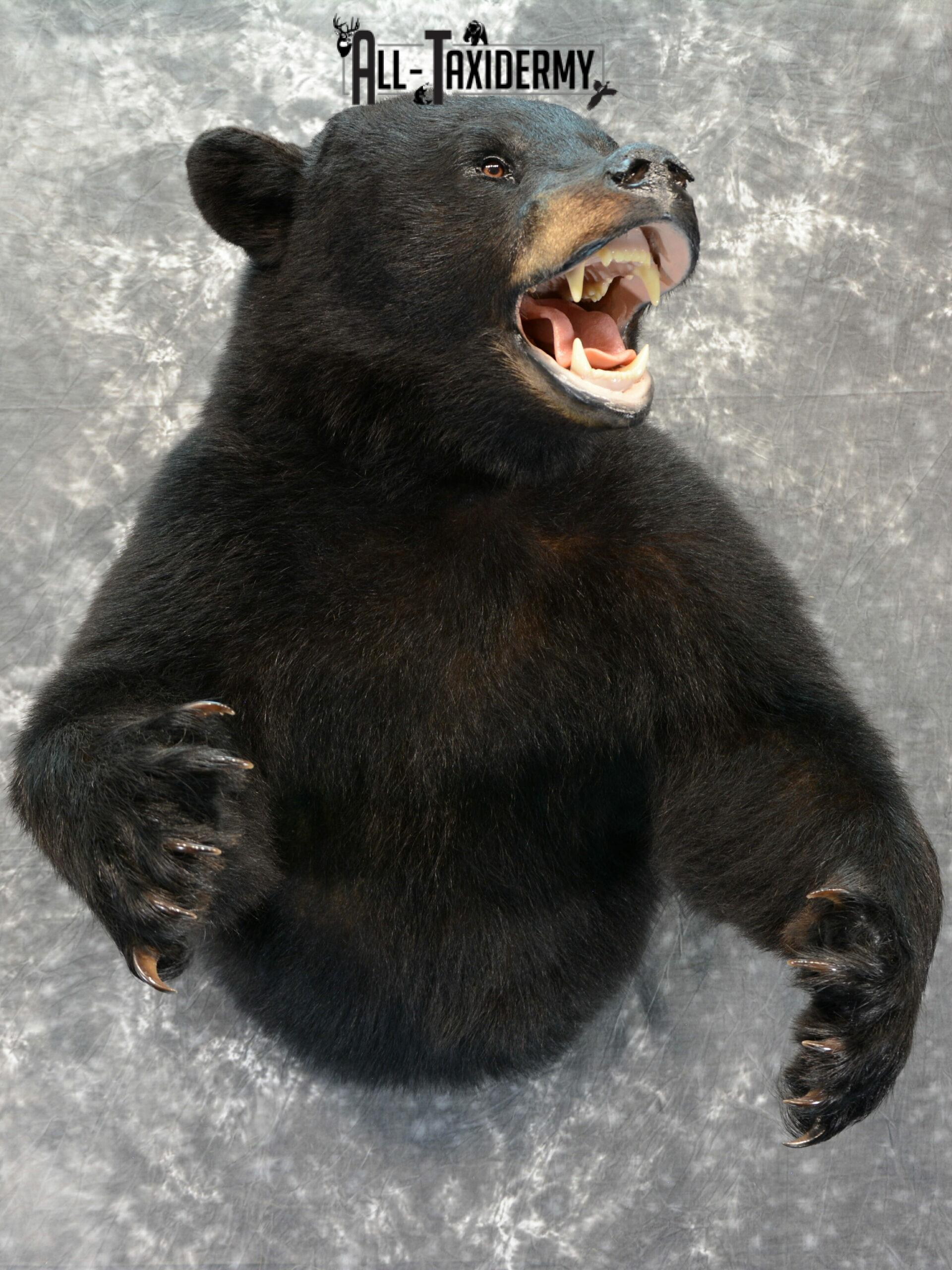 Black Bear Taxidermy mount for Sale SKU 1044