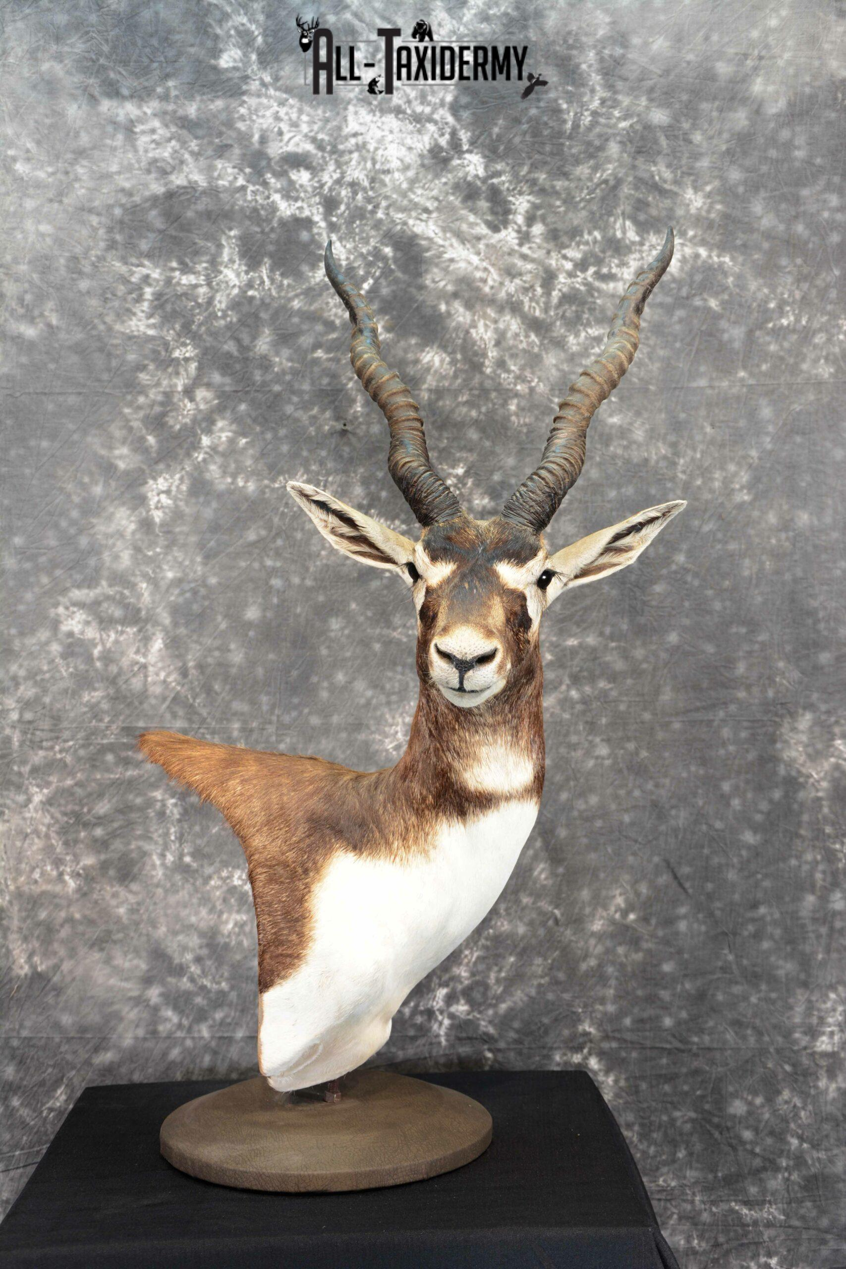 Blackbuck Taxidermy pedestal for sale SKU 1052