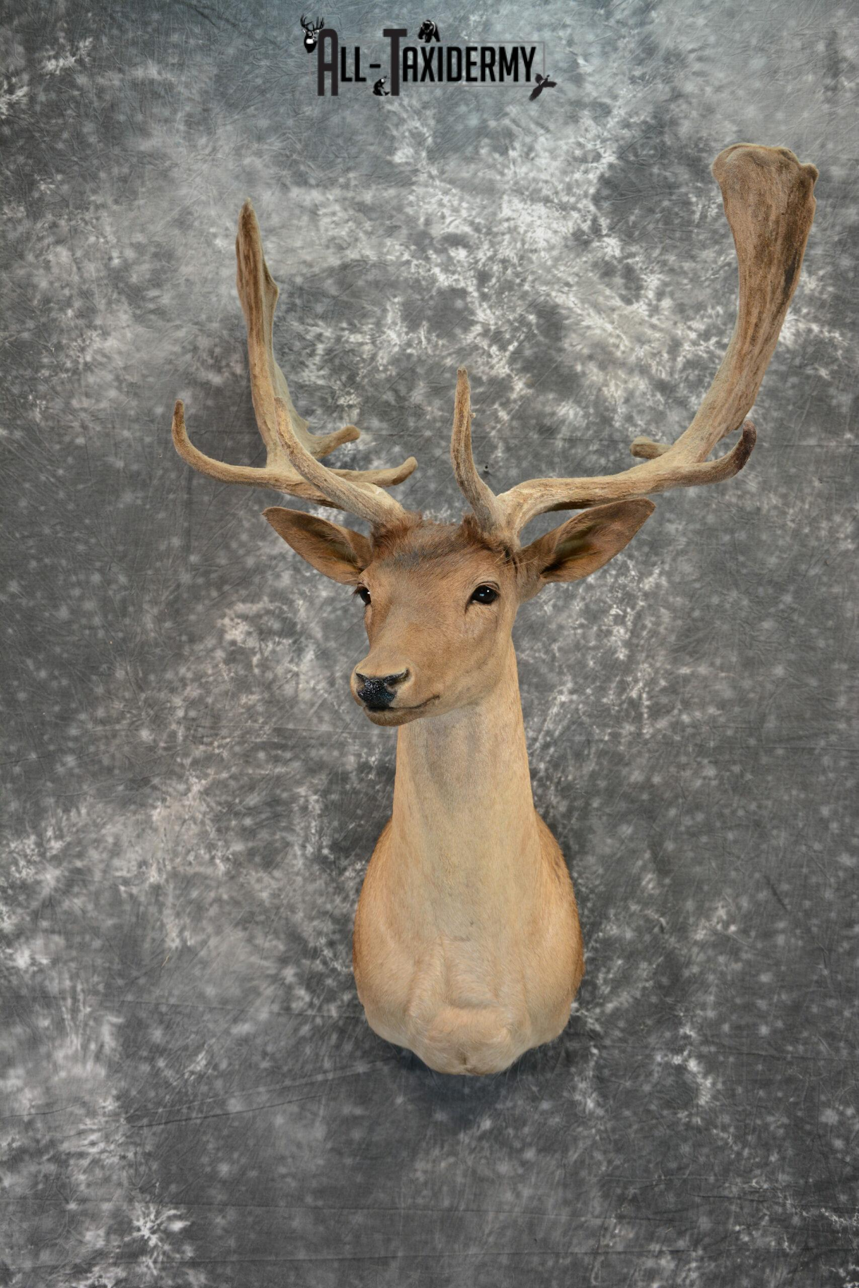 Fallow Deer in Velvet Taxidermy mount for Sale SKU 1054