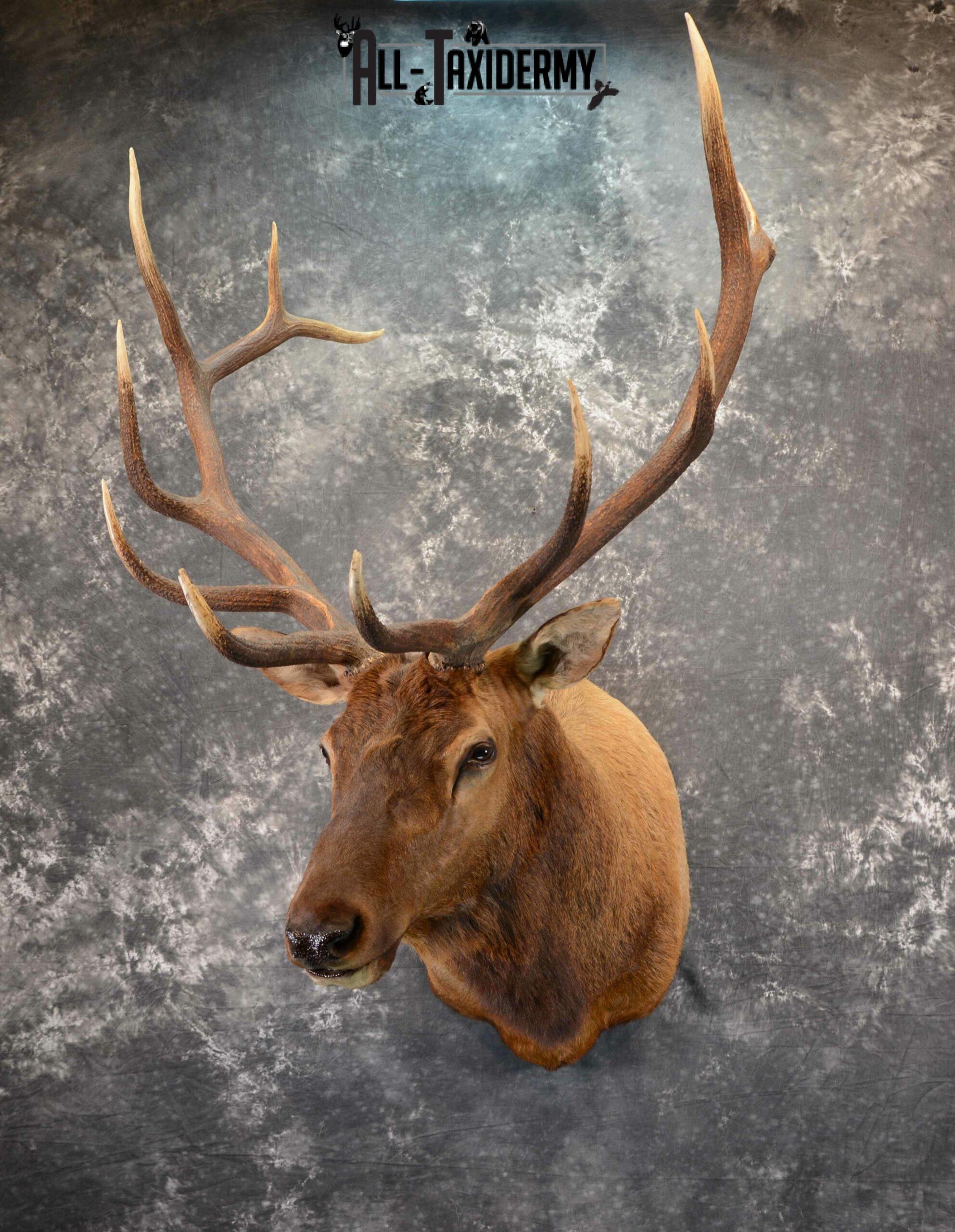 Elk Taxidermy mount for Sale SKU 1060
