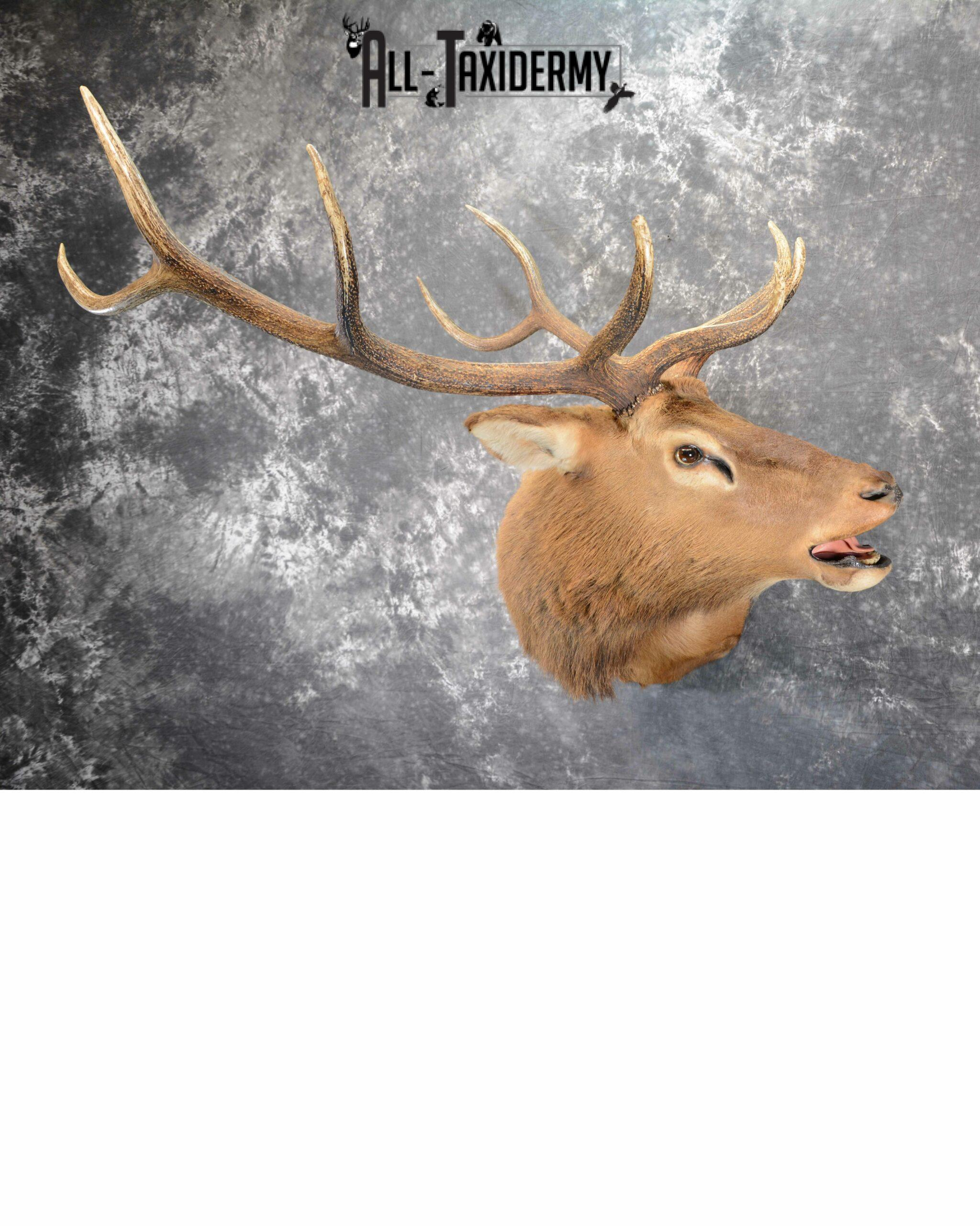 Elk Taxidermy mount for Sale SKU 1063