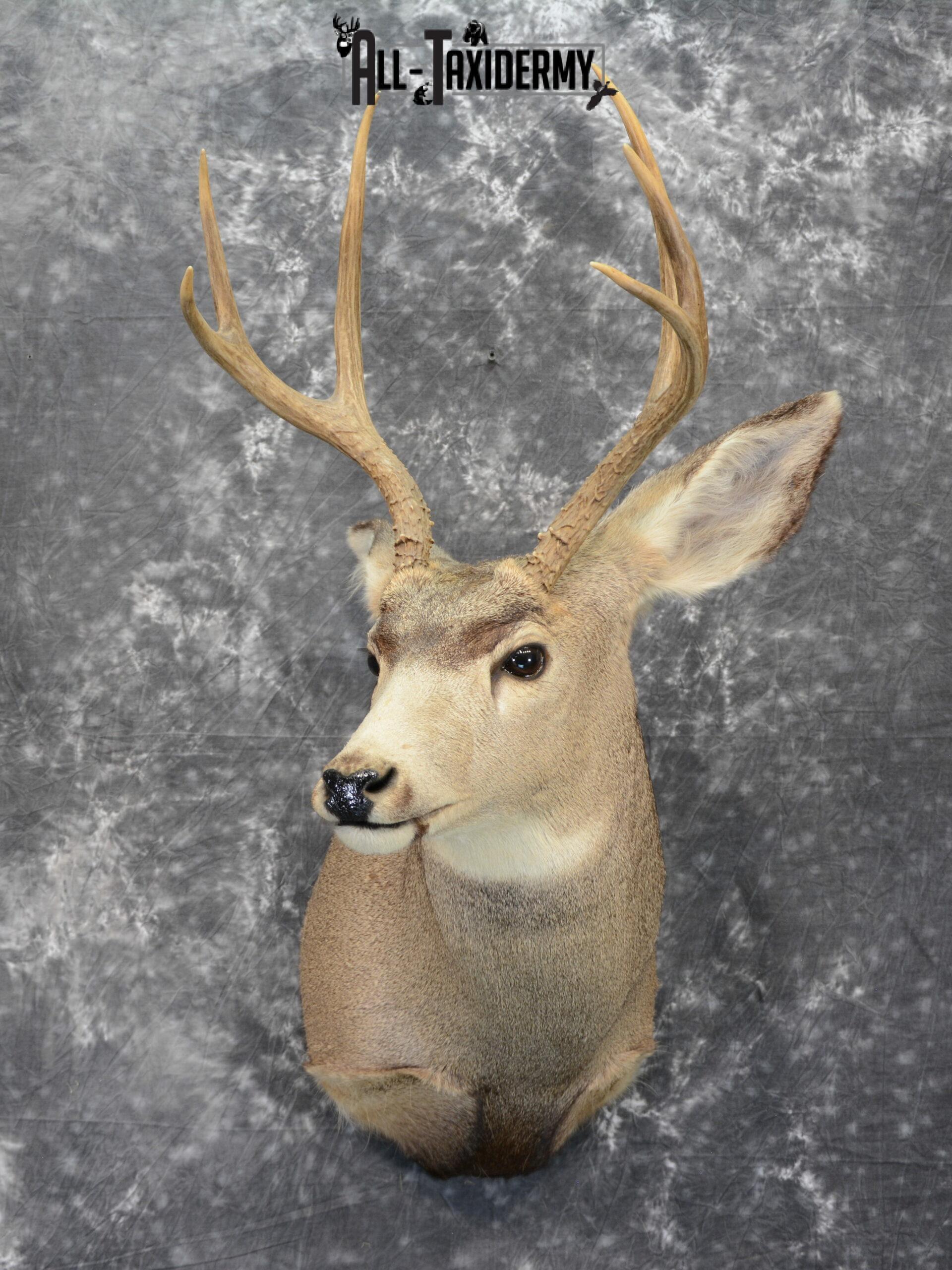 Mule Deer Taxidermy for Sale SKU 1064