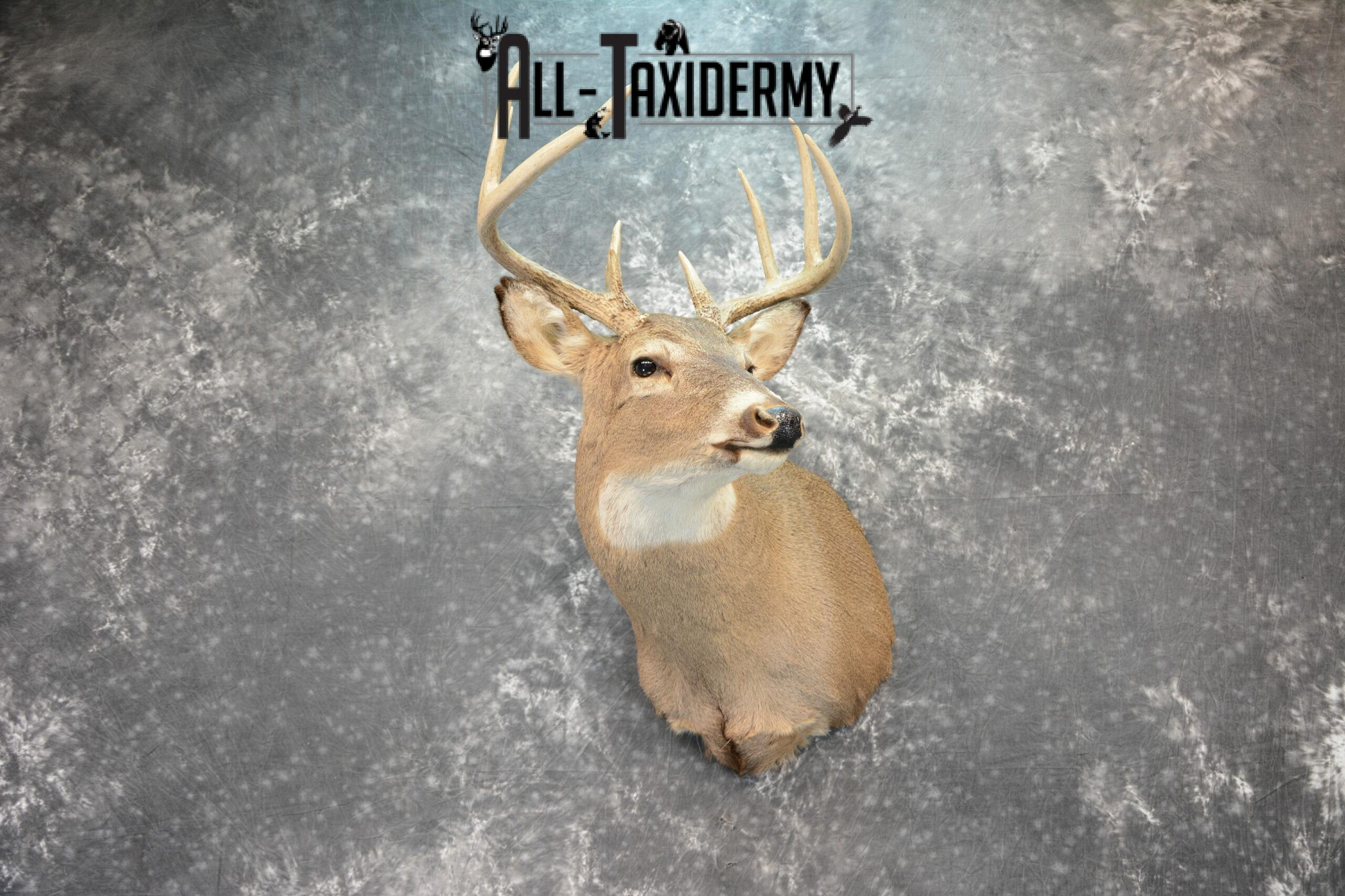 Whitetail Deer Taxidermy mount for Sale SKU 1076