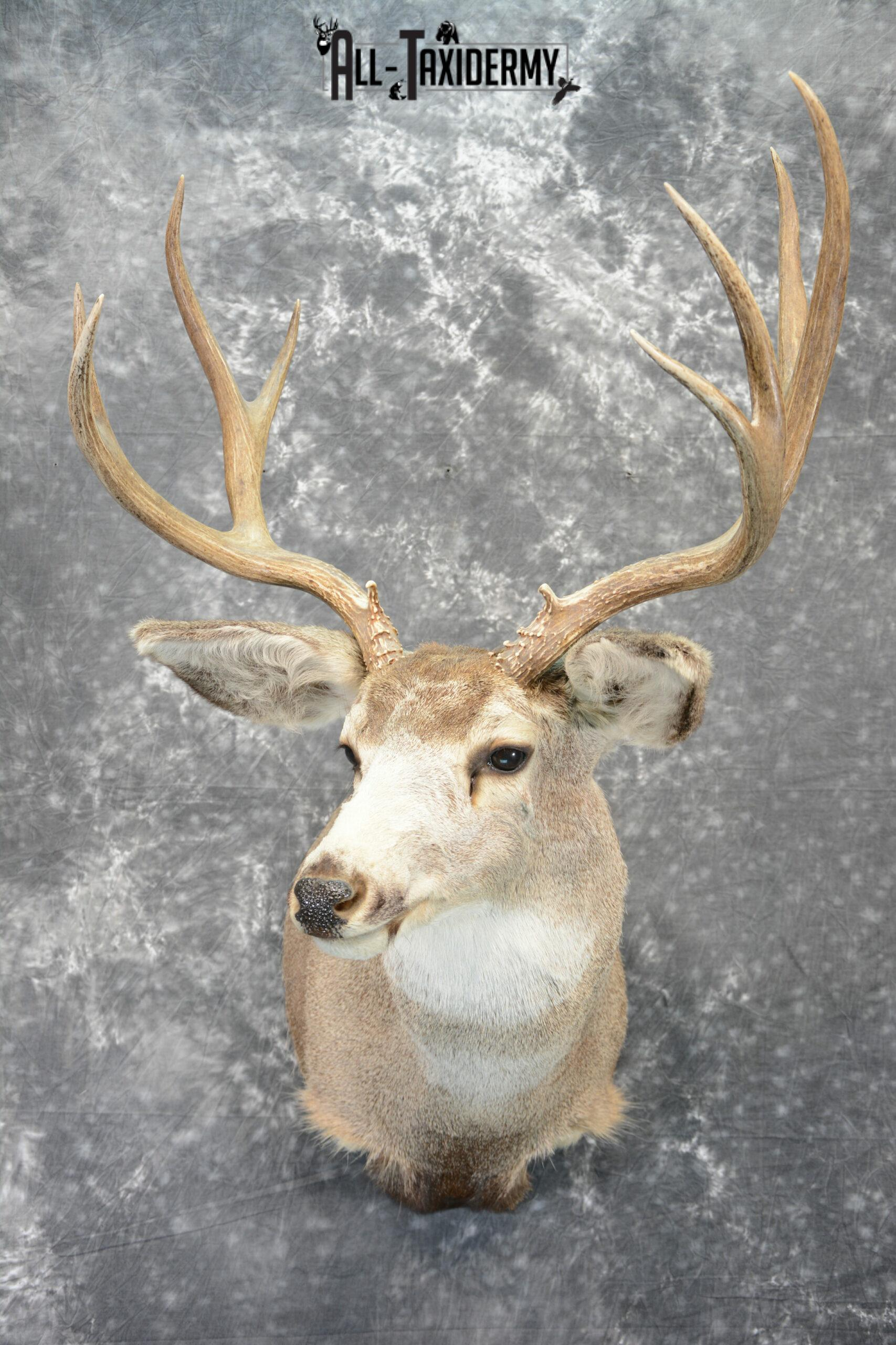 Mule Deer Taxidermy for Sale SKU 1078