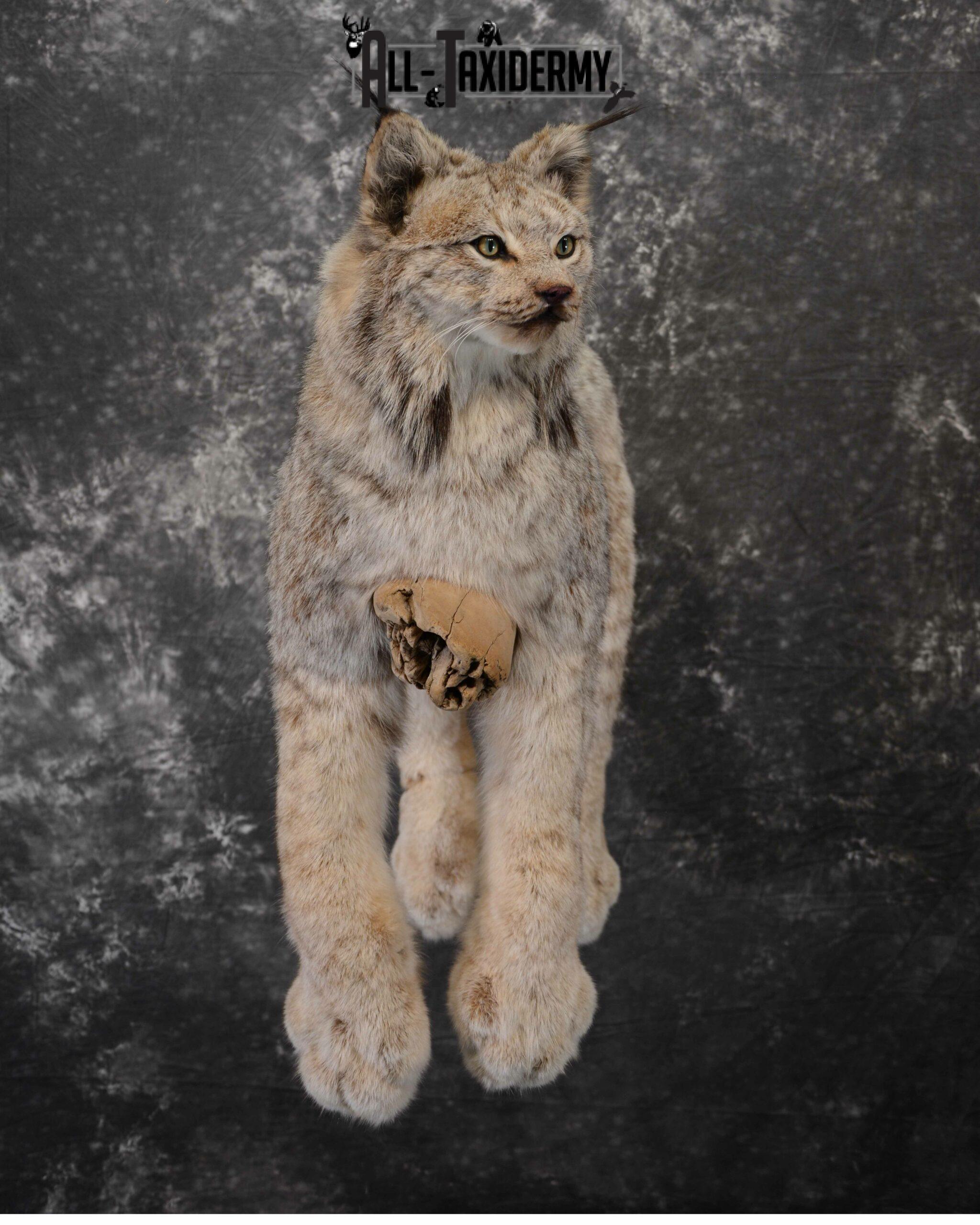 Lynx Taxidermy mount for Sale SKU 1043