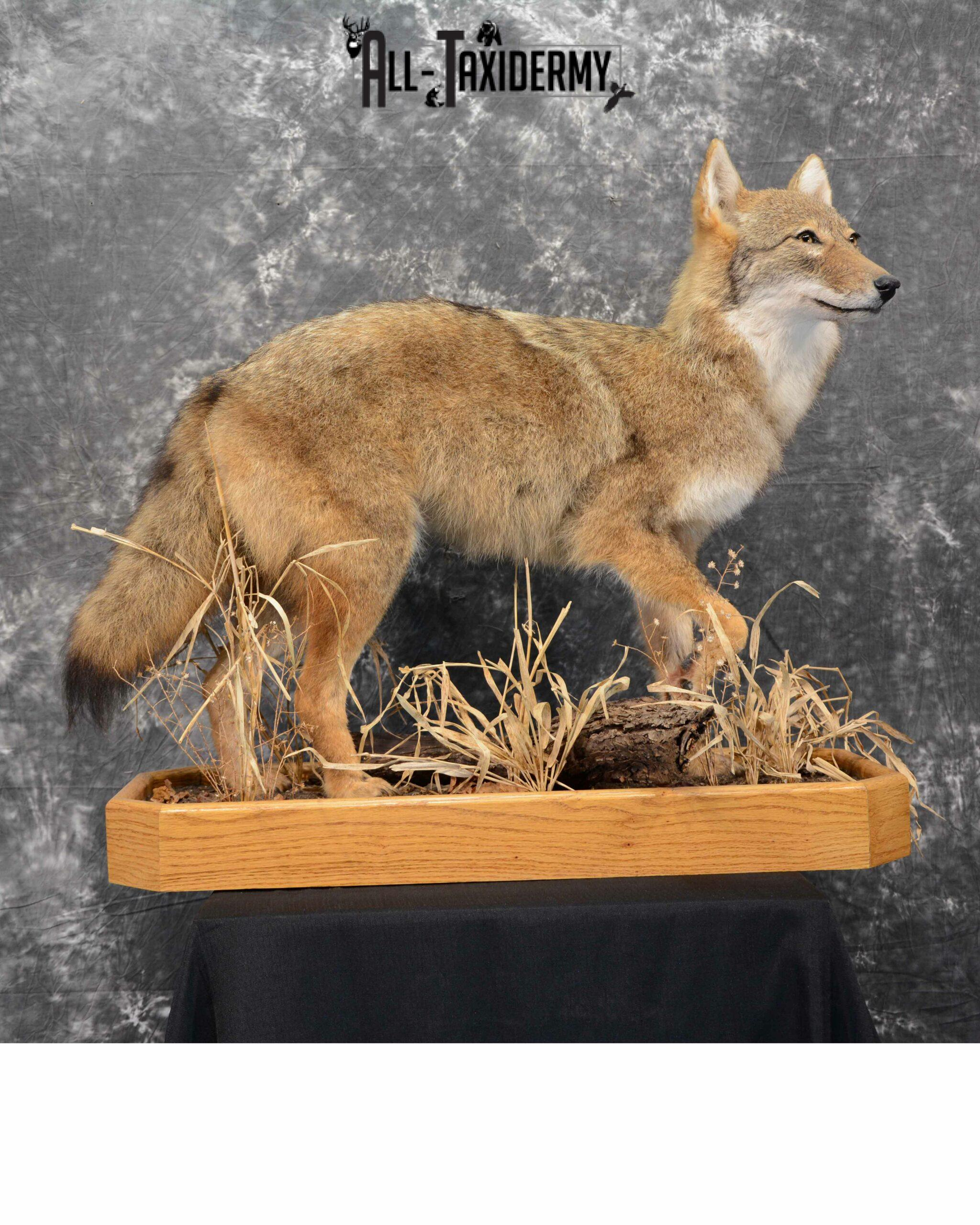 Coyote Taxidermy for sale SKU 1114