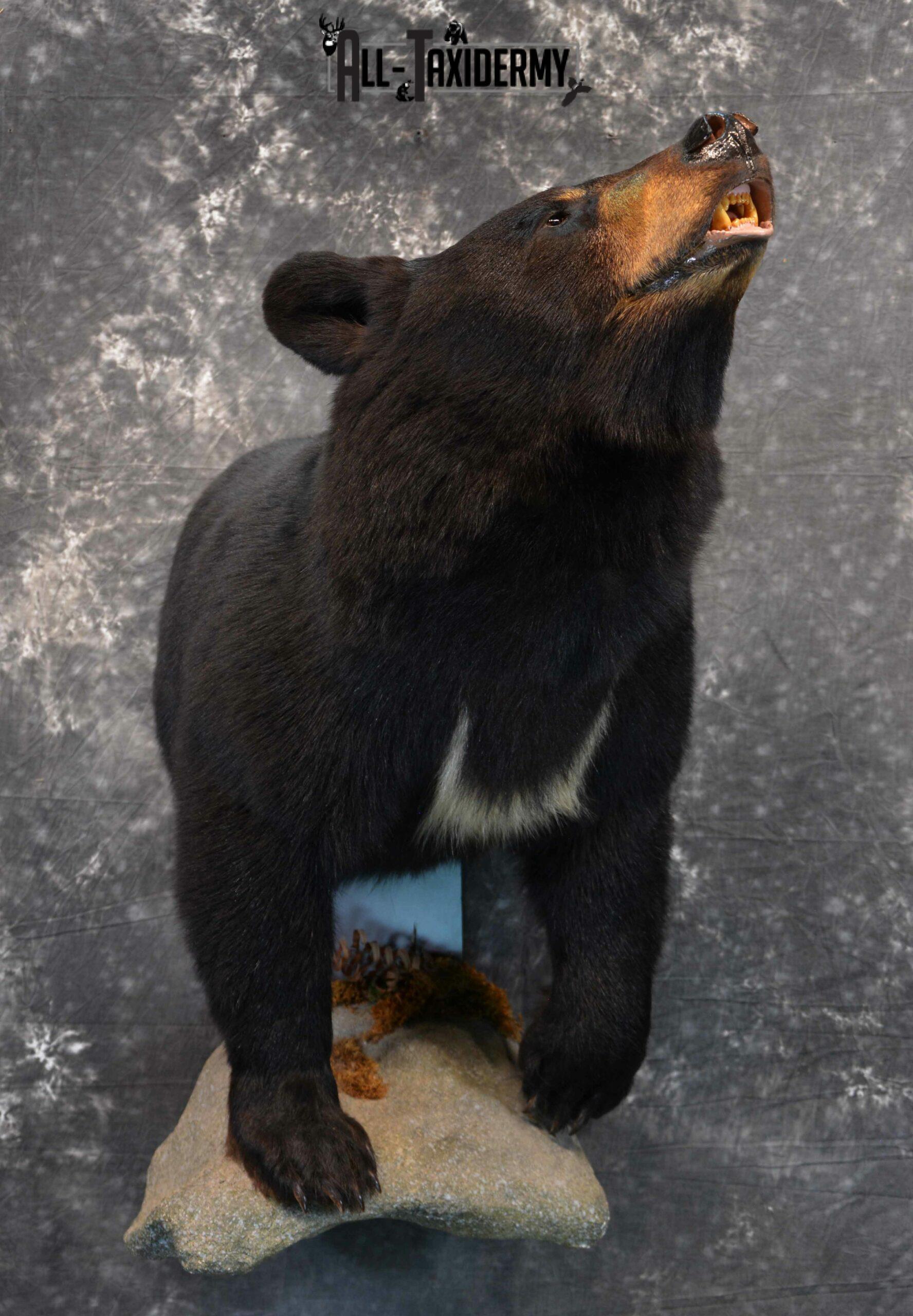 Black Bear Taxidermy for Sale SKU 1133