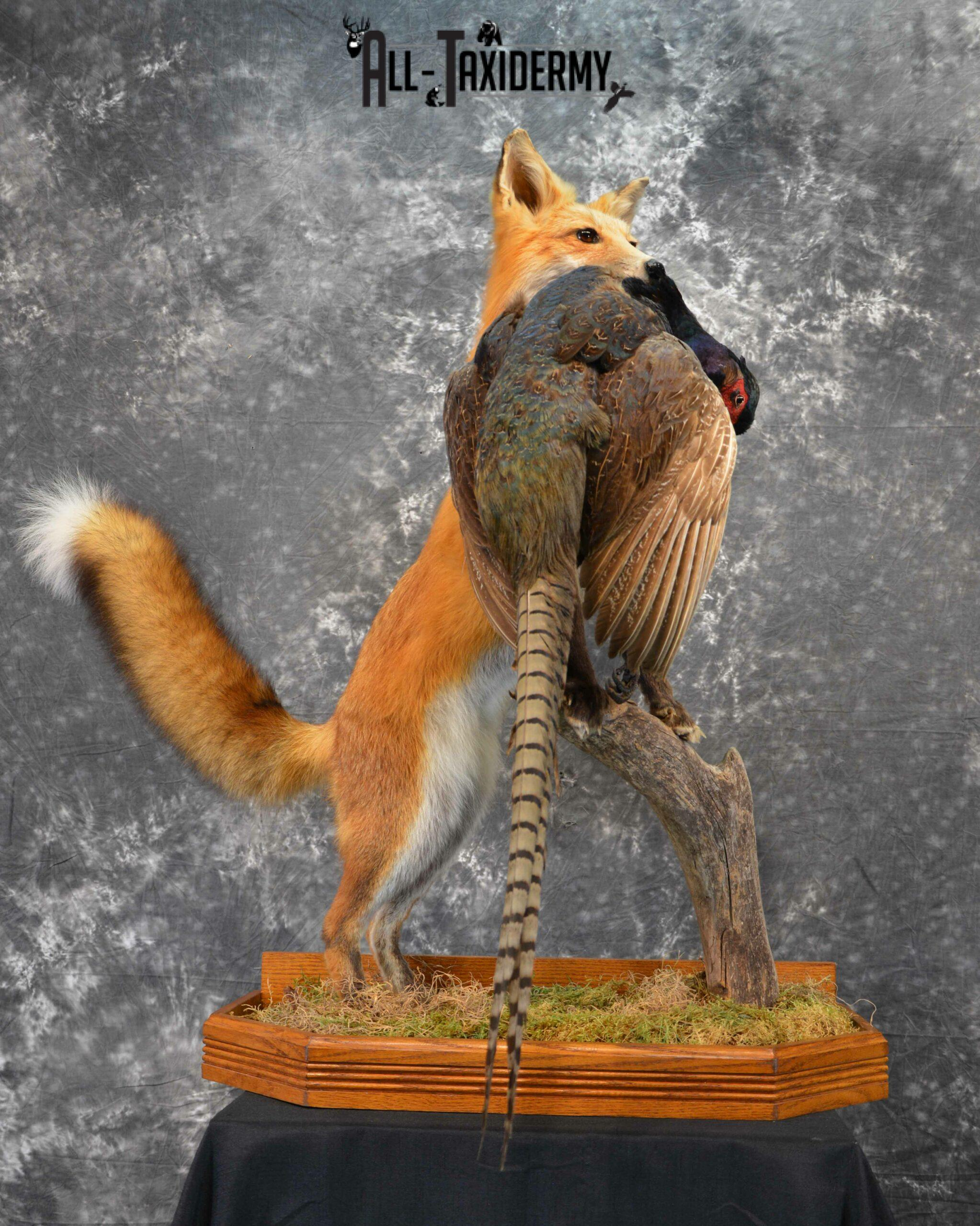 Red Fox holding Pheasant taxidermy for sale SKU 1137
