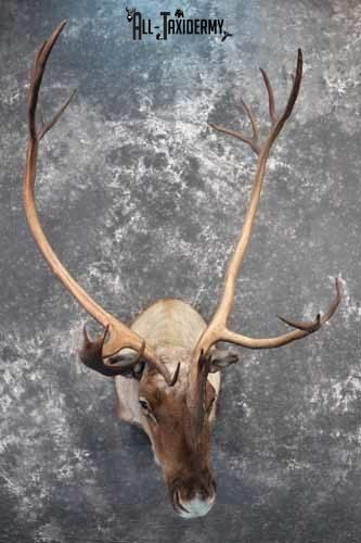 Barren-Ground Caribou Taxidermy for sale SKU 1141