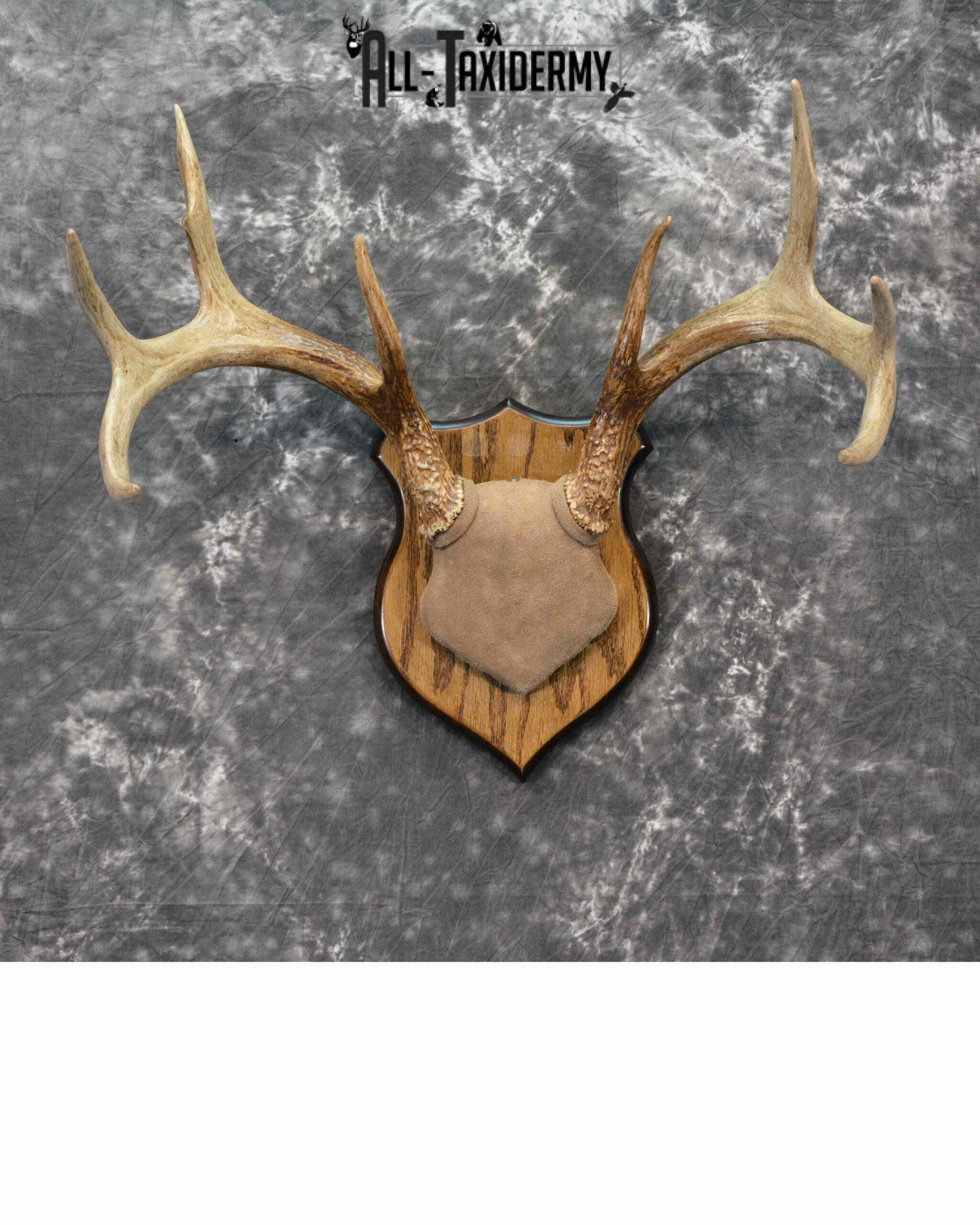 Whitetail Deer Taxidermy for sale SKU 1146