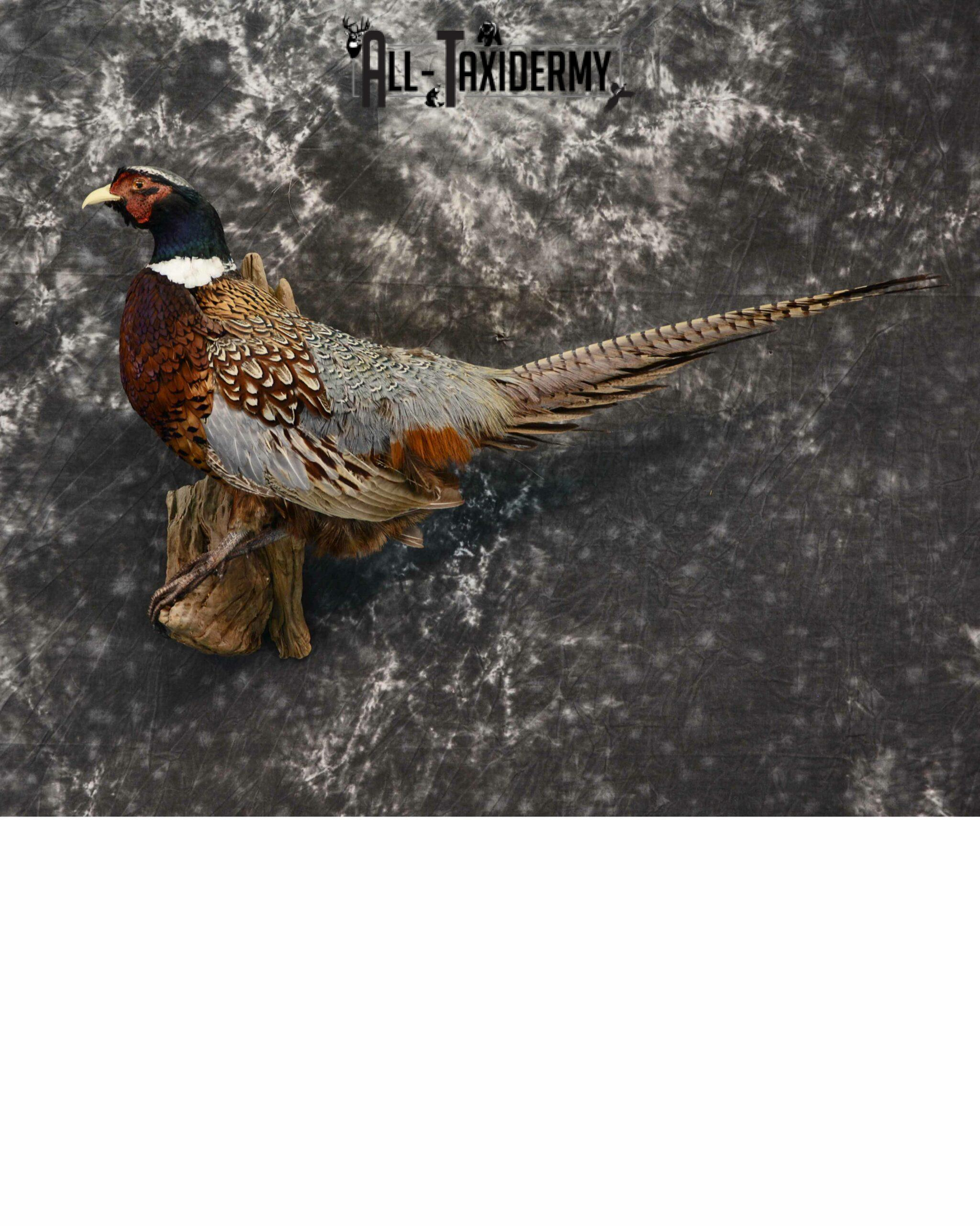 Ring-Necked Pheasant for Sale SKU 1167
