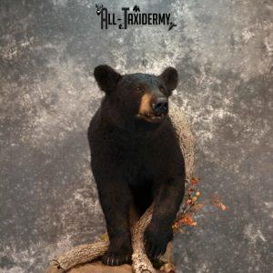 Black Bear Taxidermy mount for Sale SKU 1179