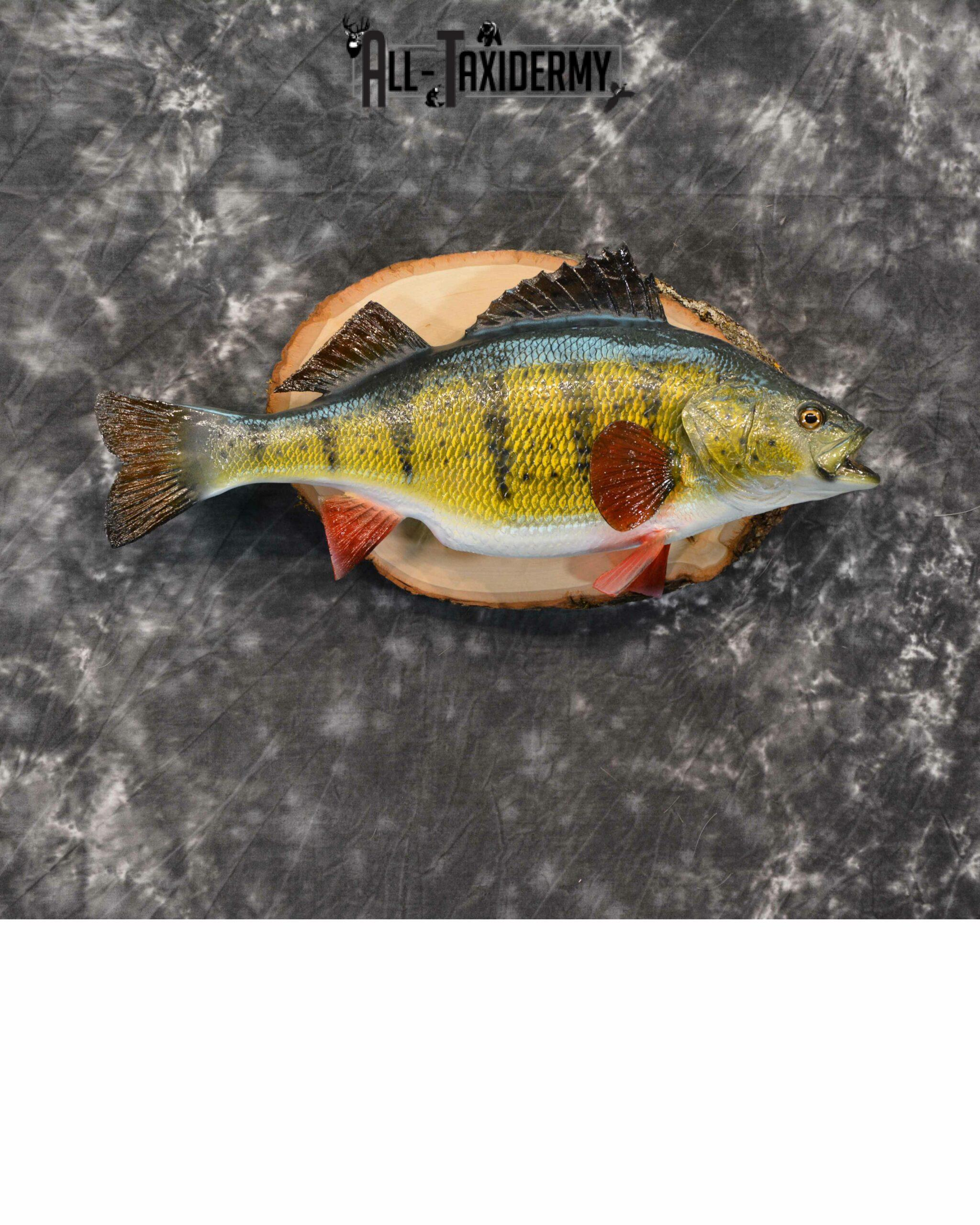 Yellow Perch Reproduction Taxidermy for Sale SKU 1189