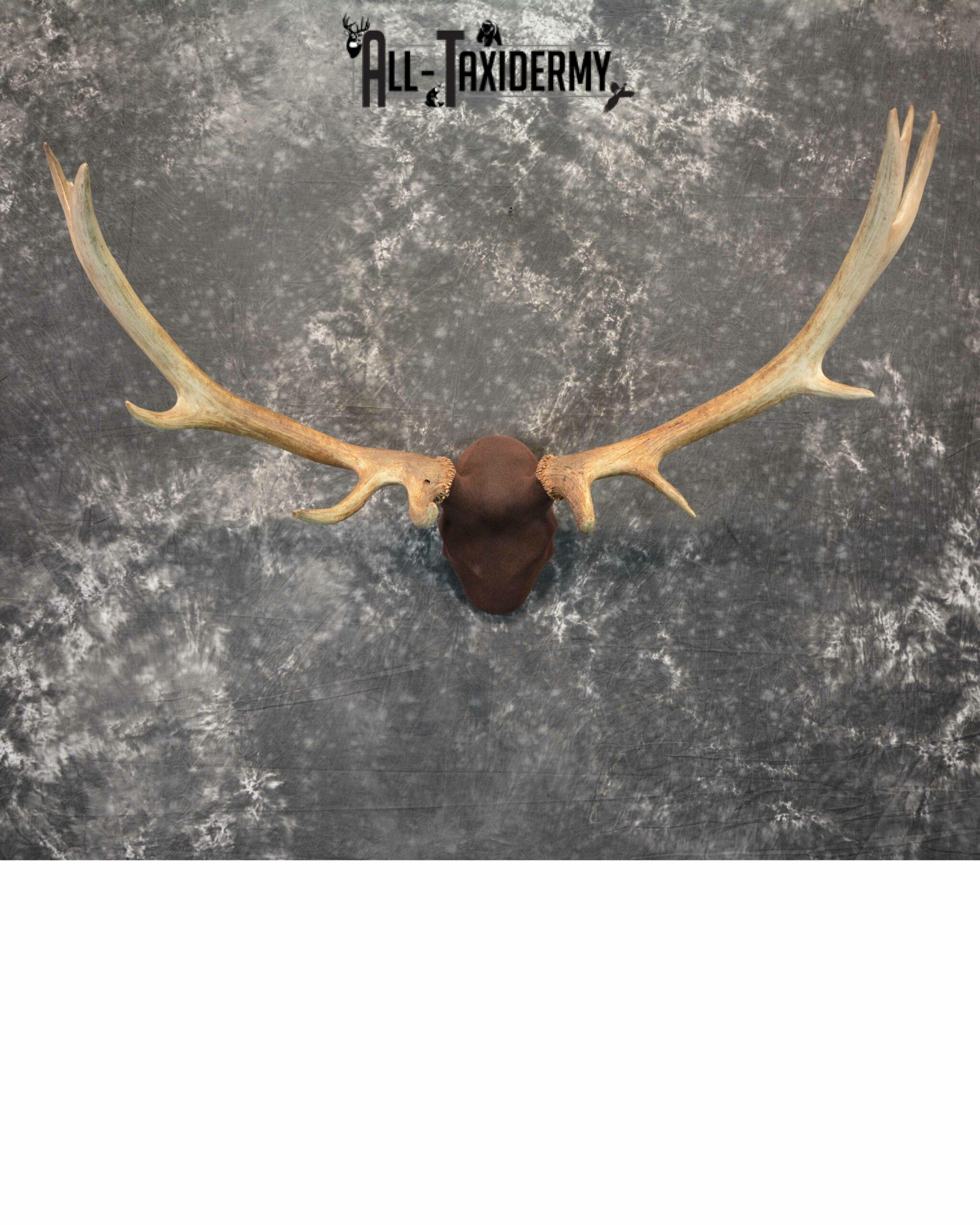 Elk antler base taxidermy mount for sale SKU 1083