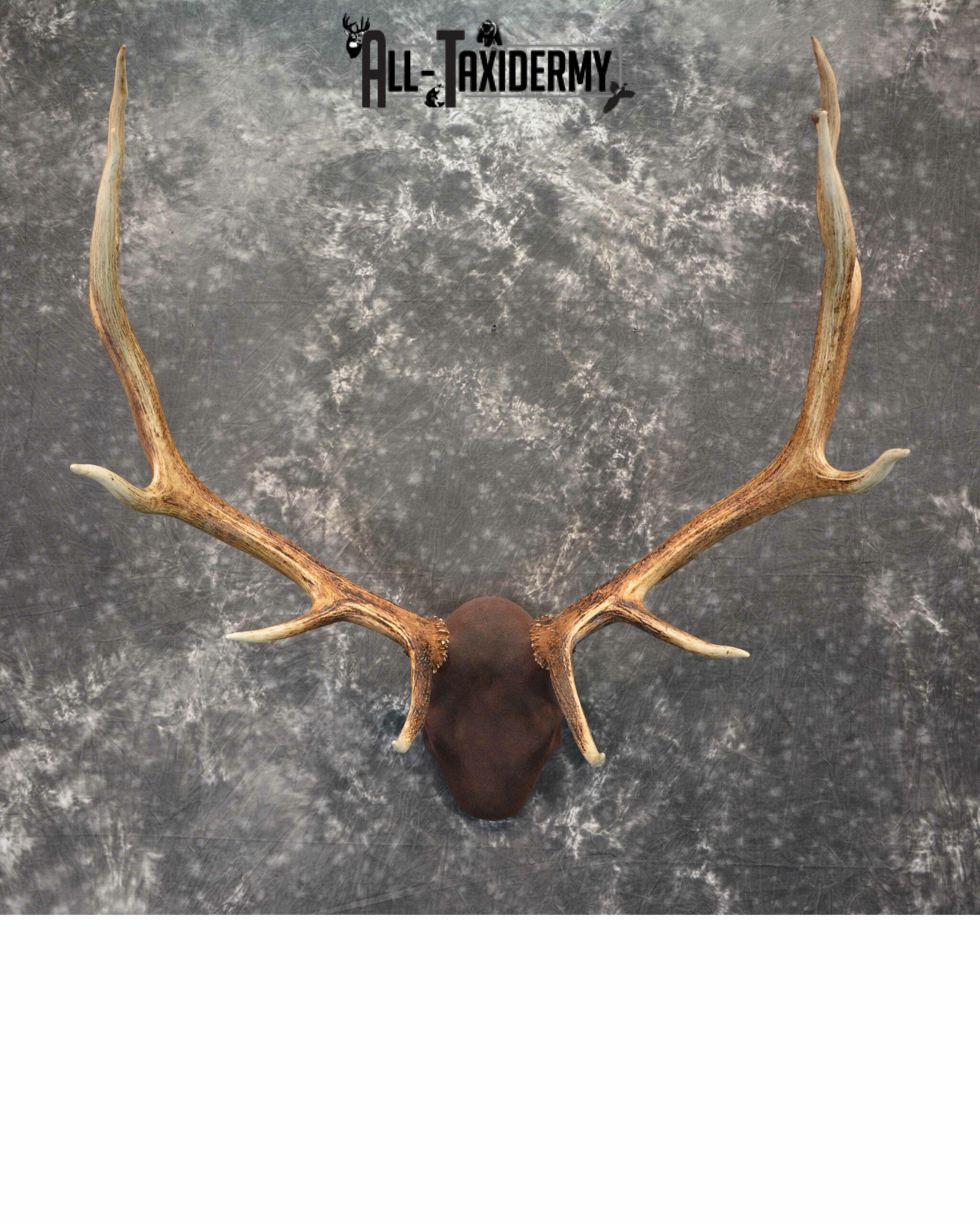 Elk antler base taxidermy mount for sale SKU 1084