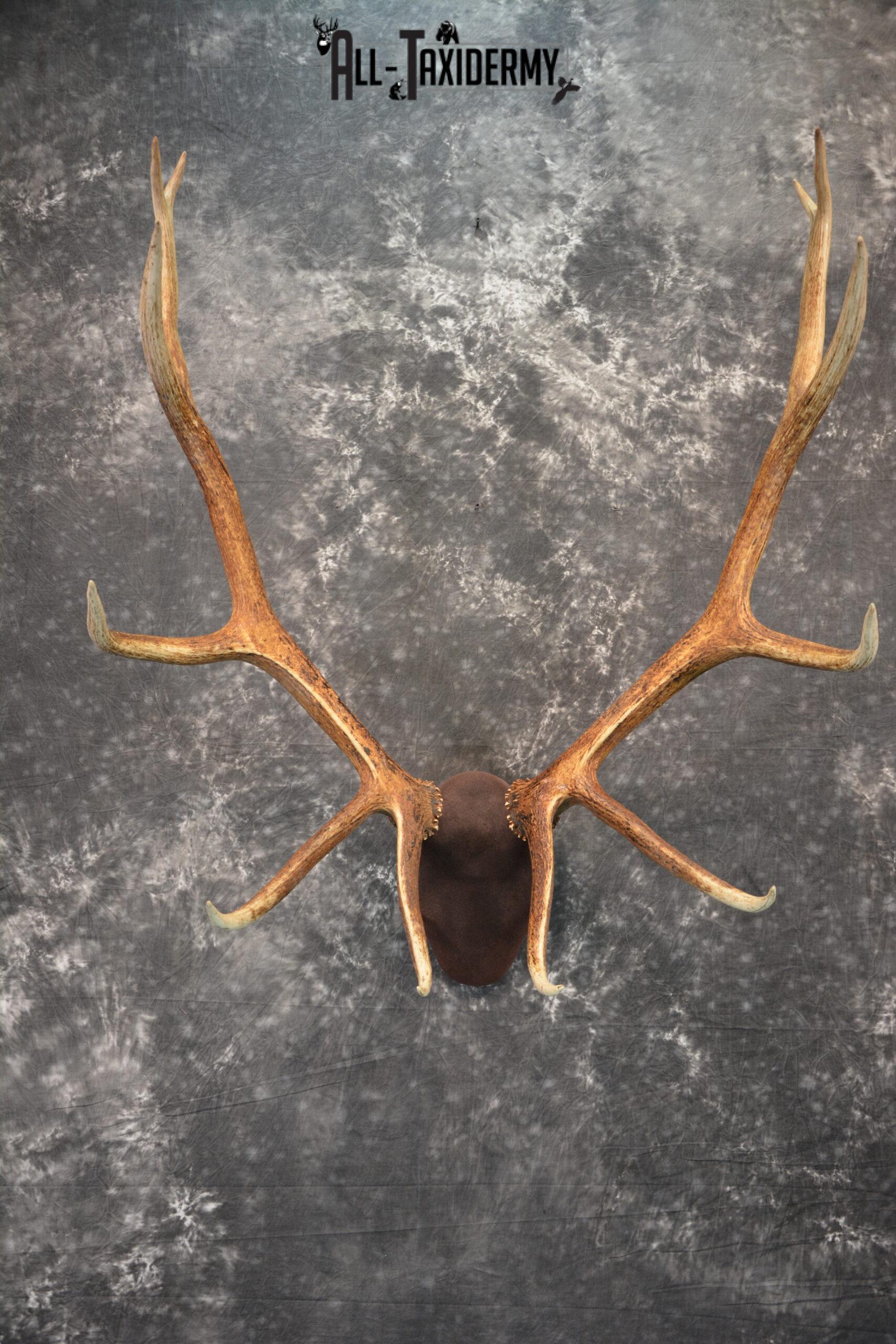 Elk antler base taxidermy mount for sale SKU 1085