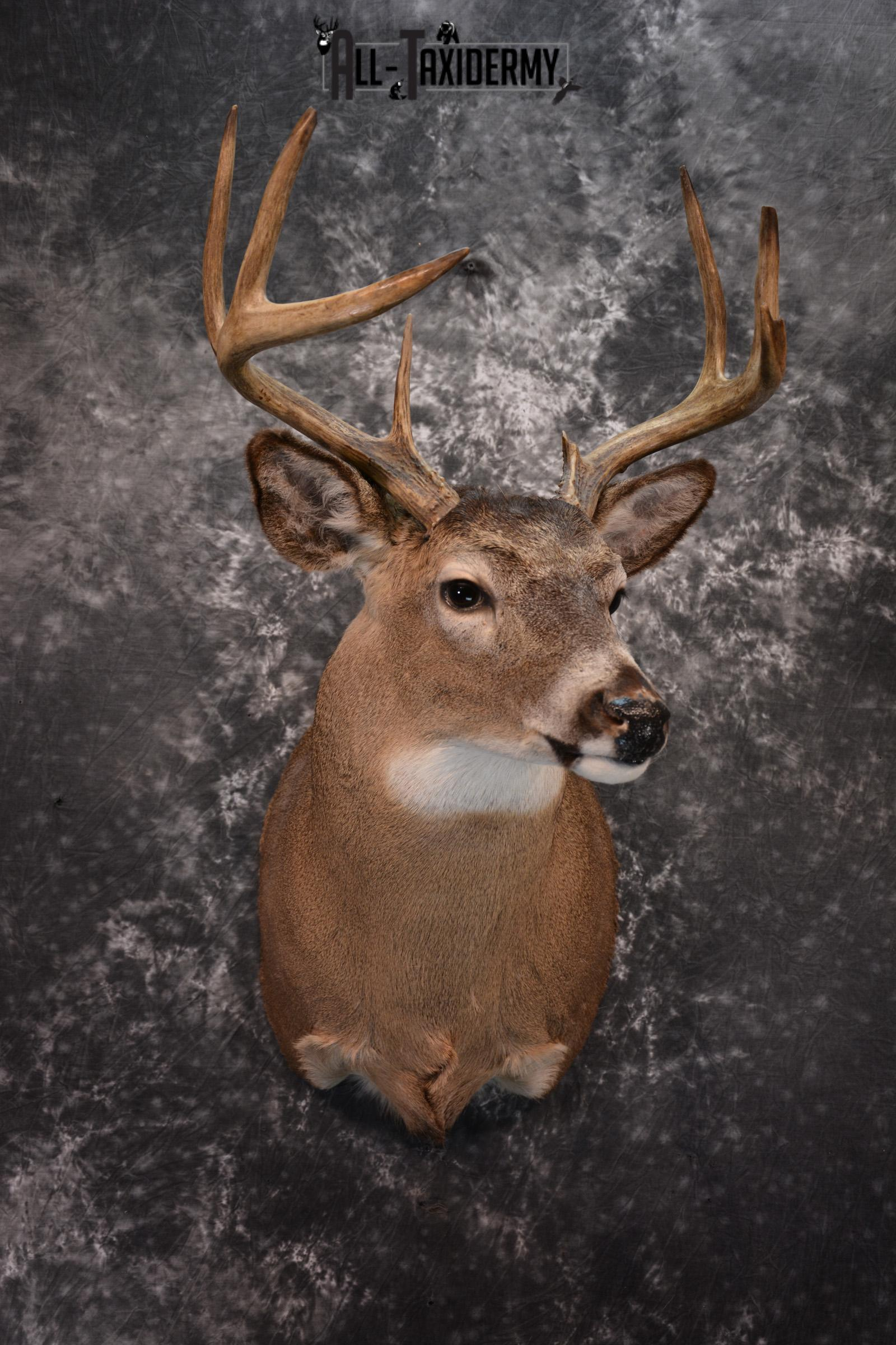 Whitetail Deer Taxidermy for Sale SKU 1027