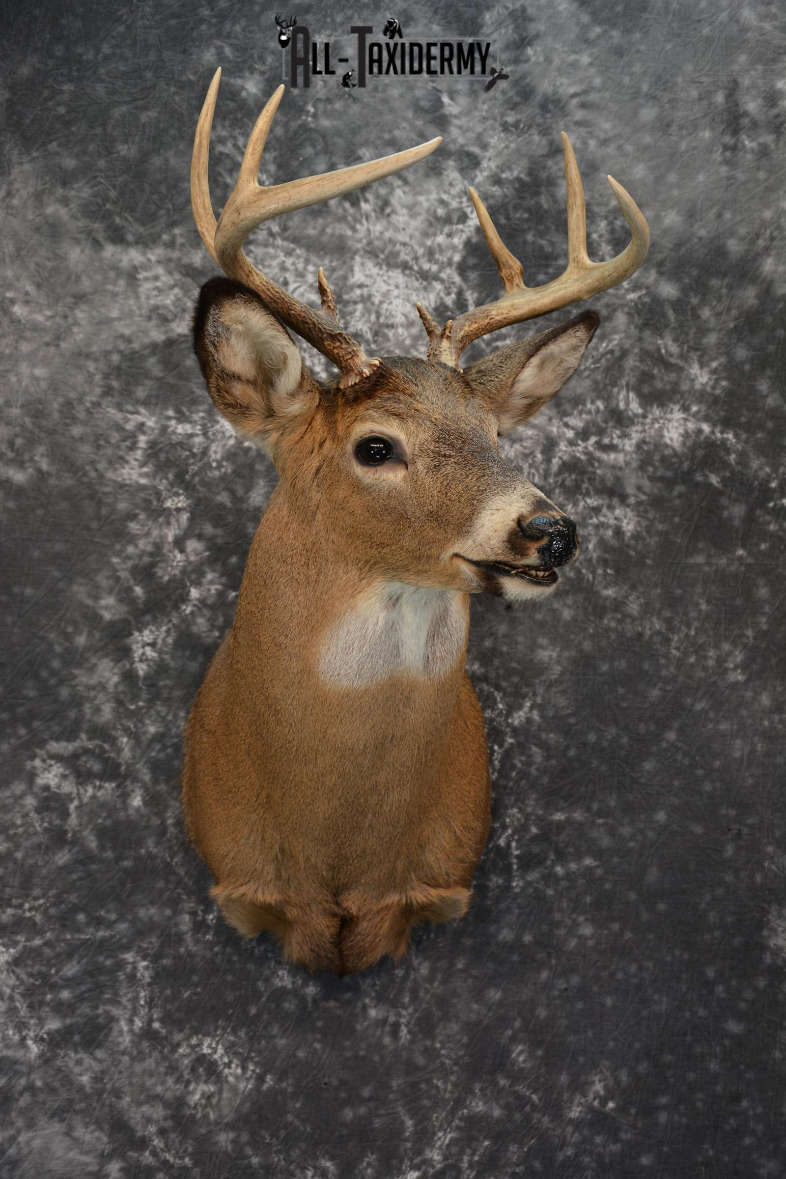 Whitetail Deer Taxidermy mount for Sale SKU 1074