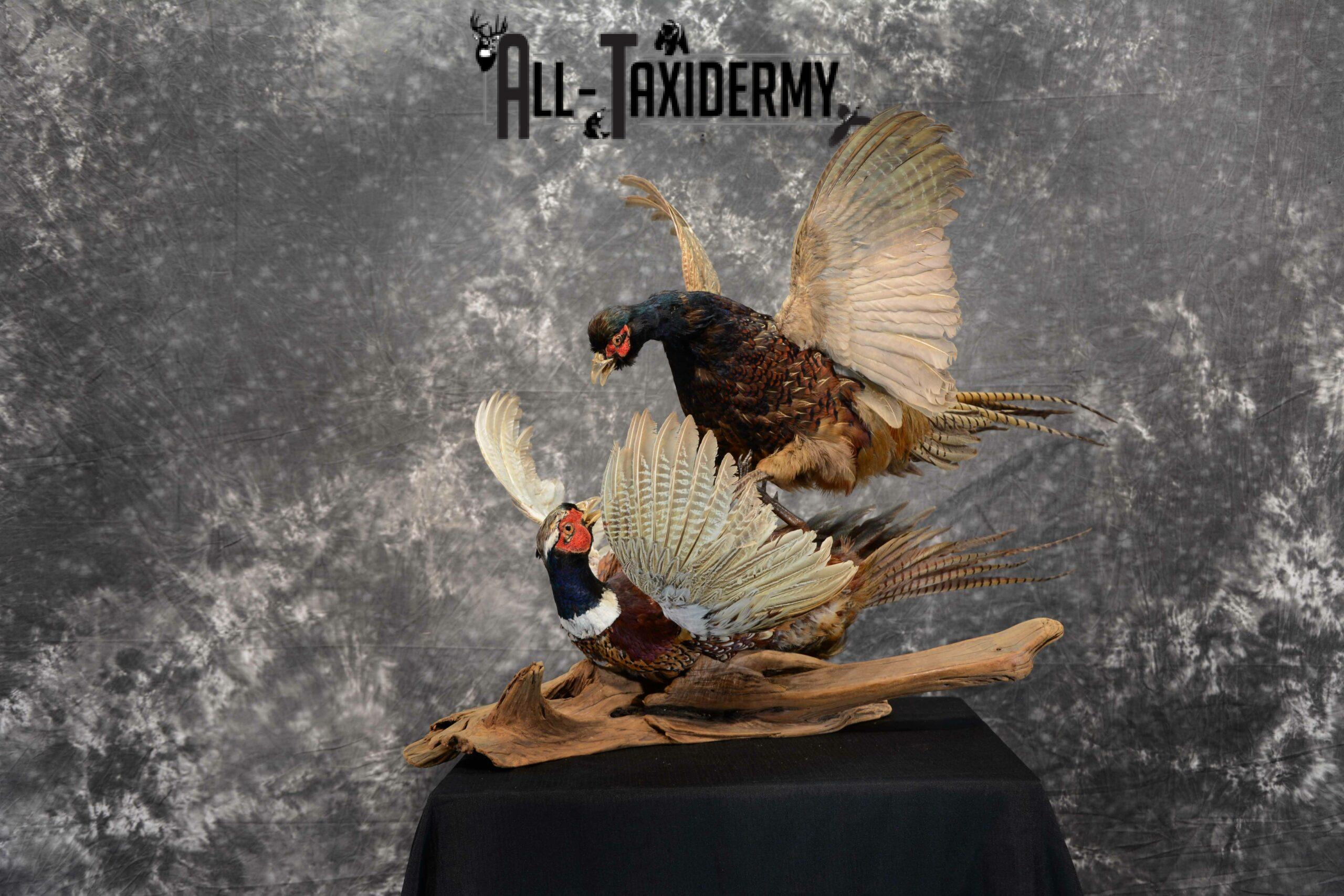 Ring-Necked and Black Pheasant Taxidermy for Sale SKU 1112