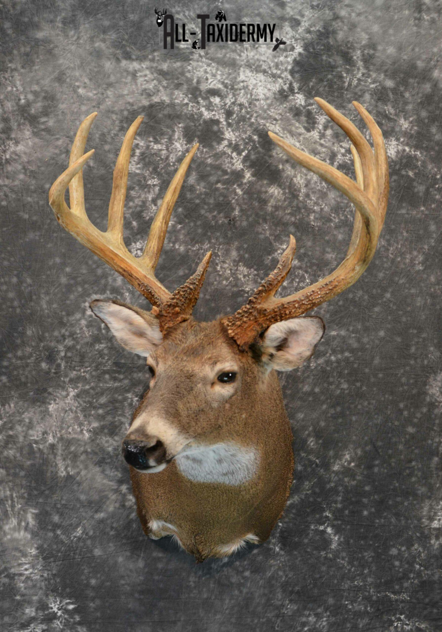 Whitetail Deer Taxidermy for Sale SKU 1180