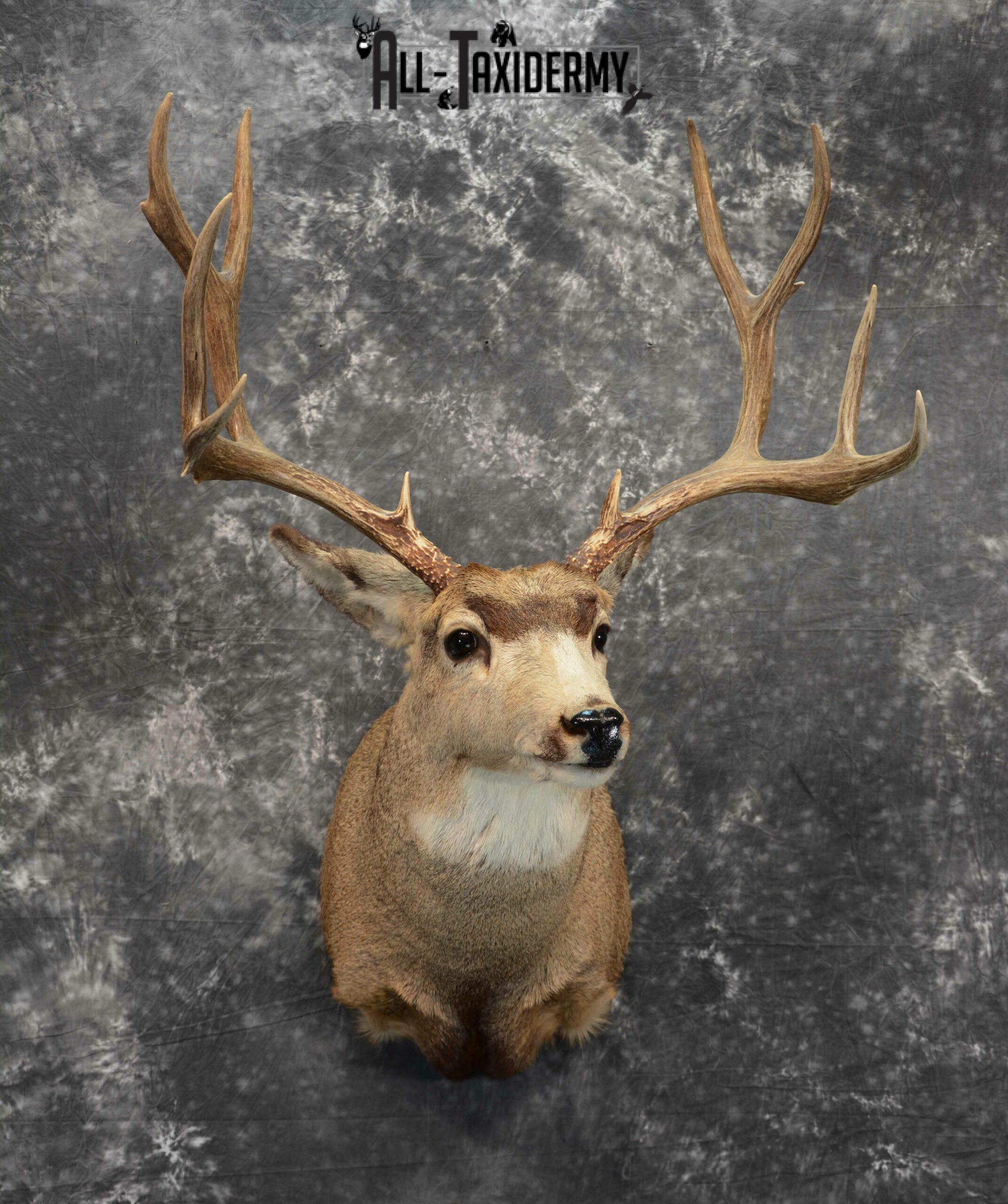 Mule Deer Taxidermy for Sale SKU 1127