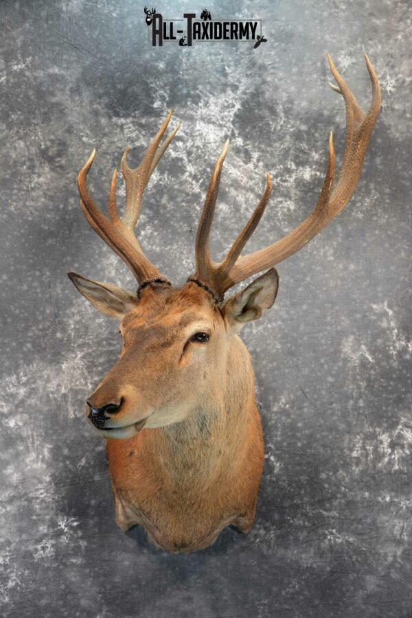 Red stag taxidermy mount