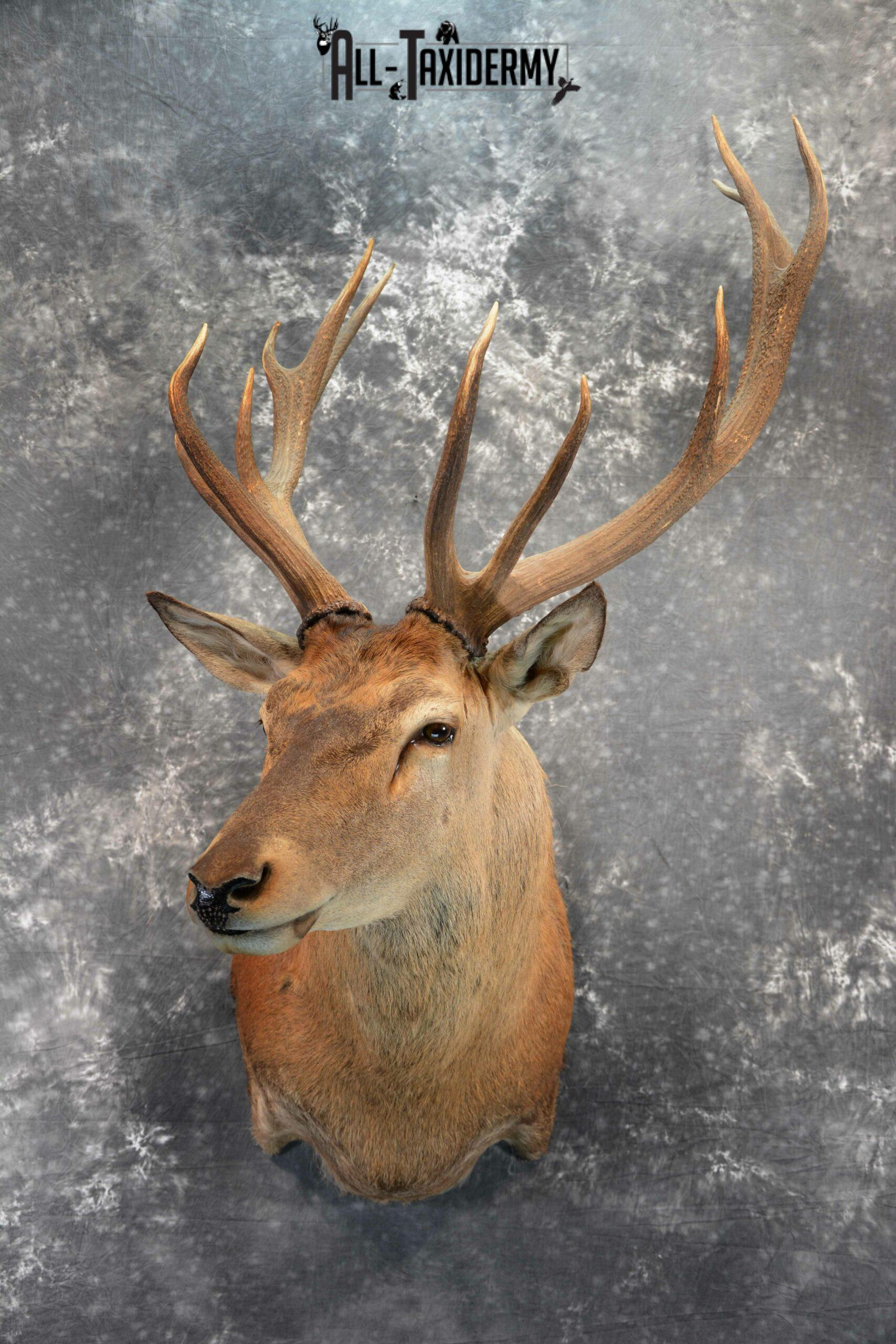 Red Stage Deer Taxidermy mount for Sale SKU 1053