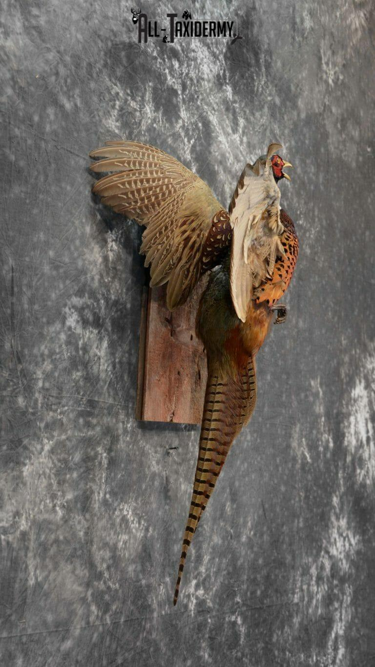 Ring-Necked Pheasant Taxidermy