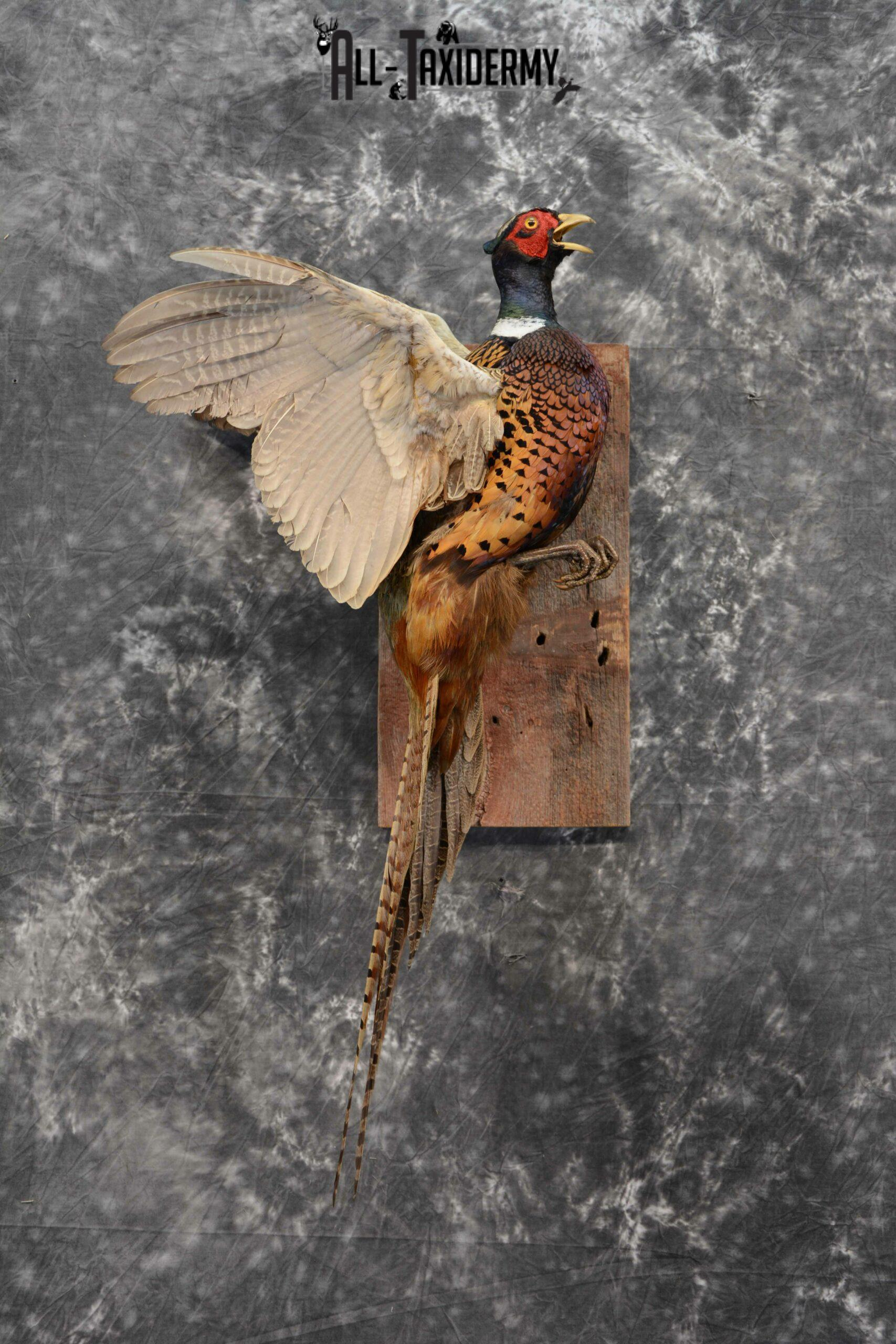 Ring-Necked Pheasant Taxidermy for Sale SKU 1128