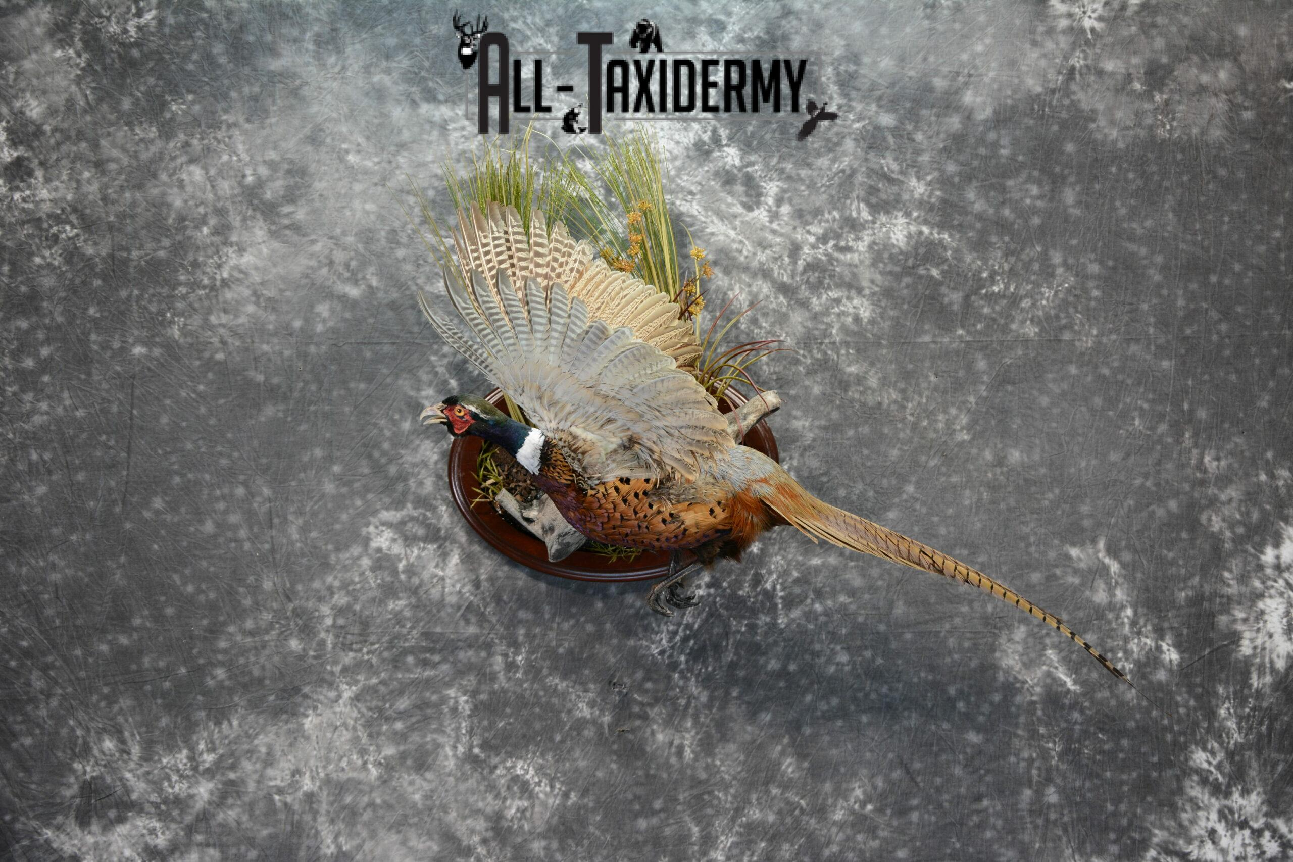 Ring-Necked Pheasant Taxidermy for Sale SKU 1069