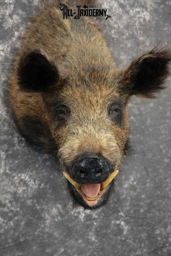 Russian Boar Taxidermy