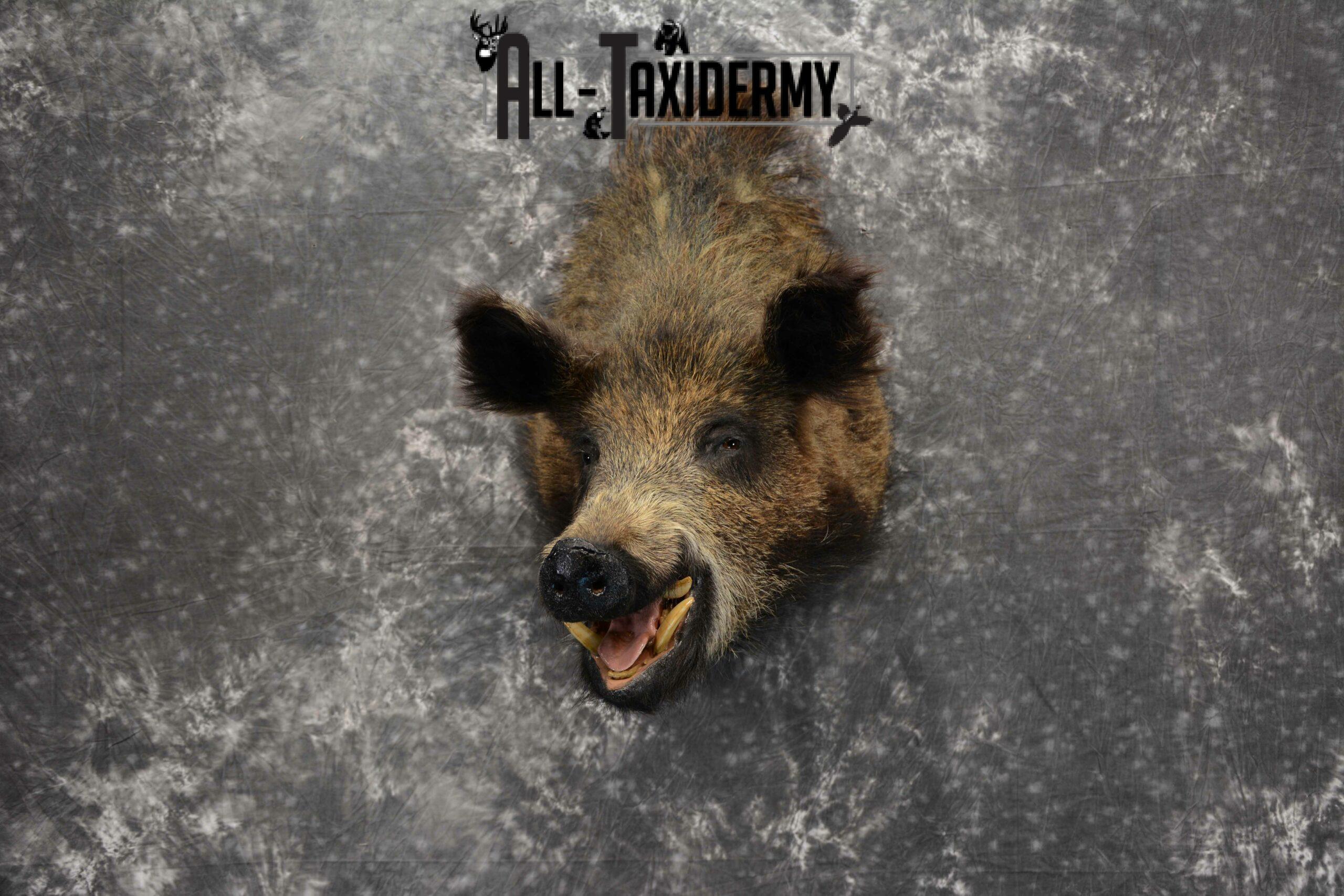 Russian Boar Taxidermy for Sale SKU 1130