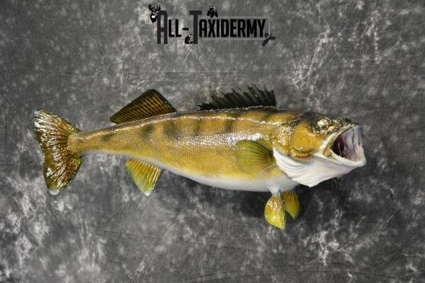 Walleye skin taxidermy