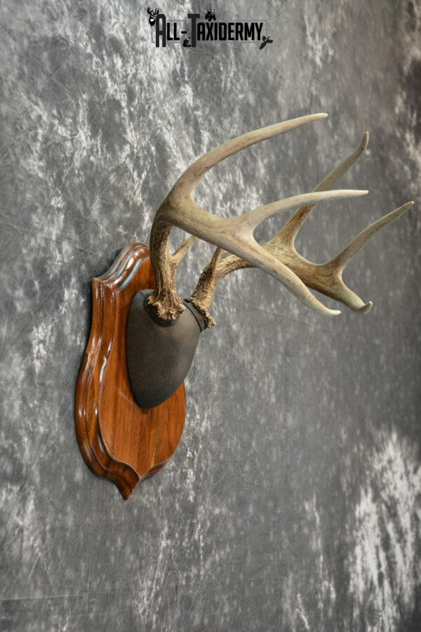 Whitetail Deer Antler plaque Taxidermy mount