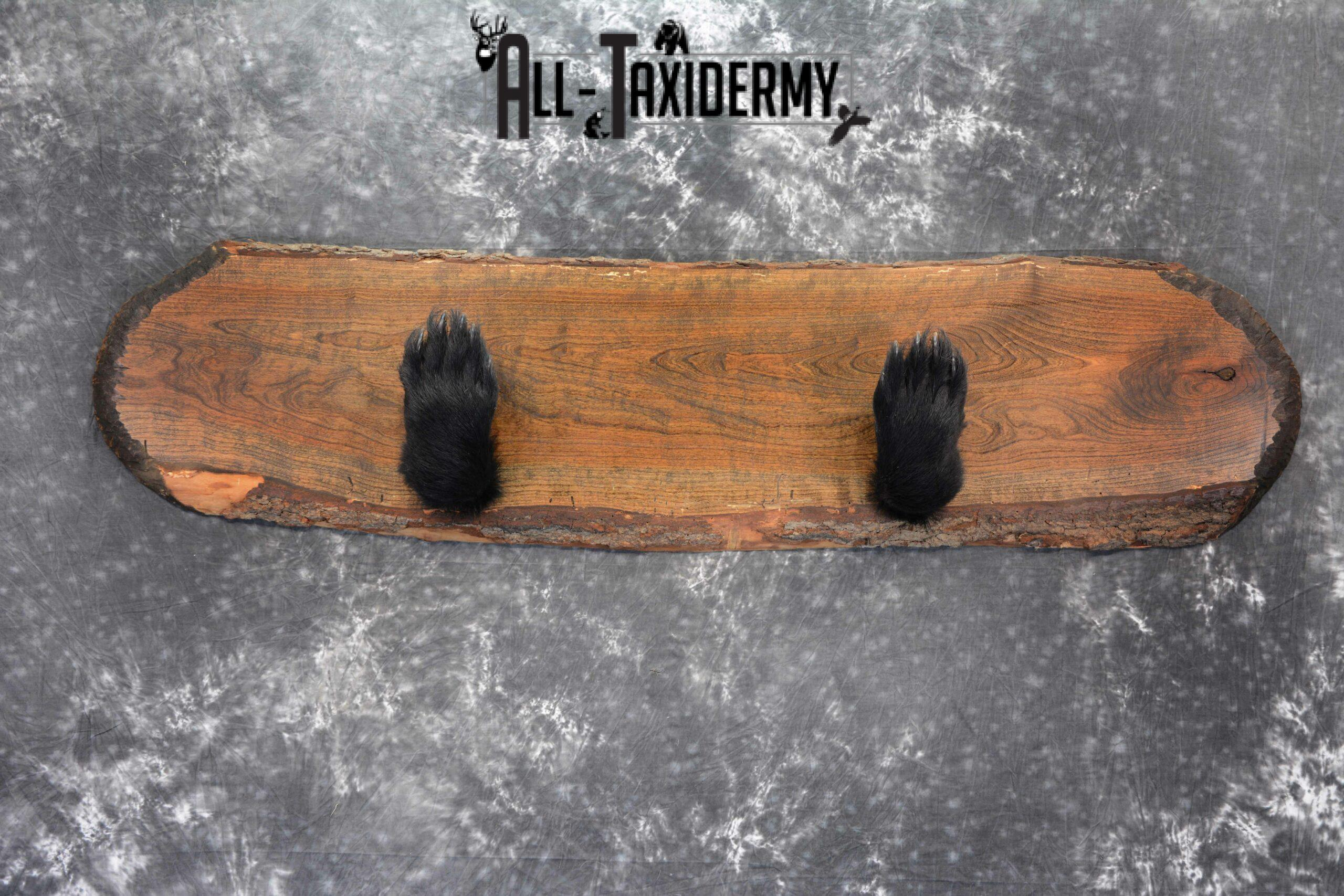 Black Bear Taxidermy paw gun holder for sale SKU 1045