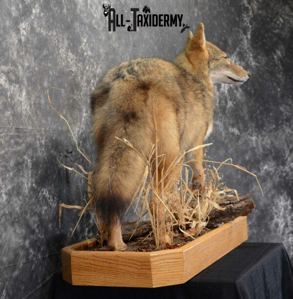 coyote taxidermy mounts