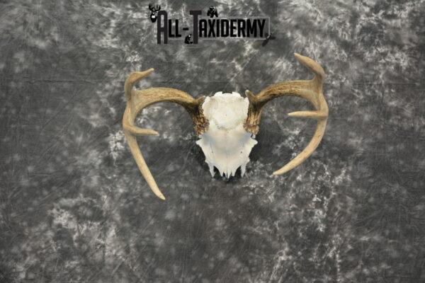 deer skull cap mount