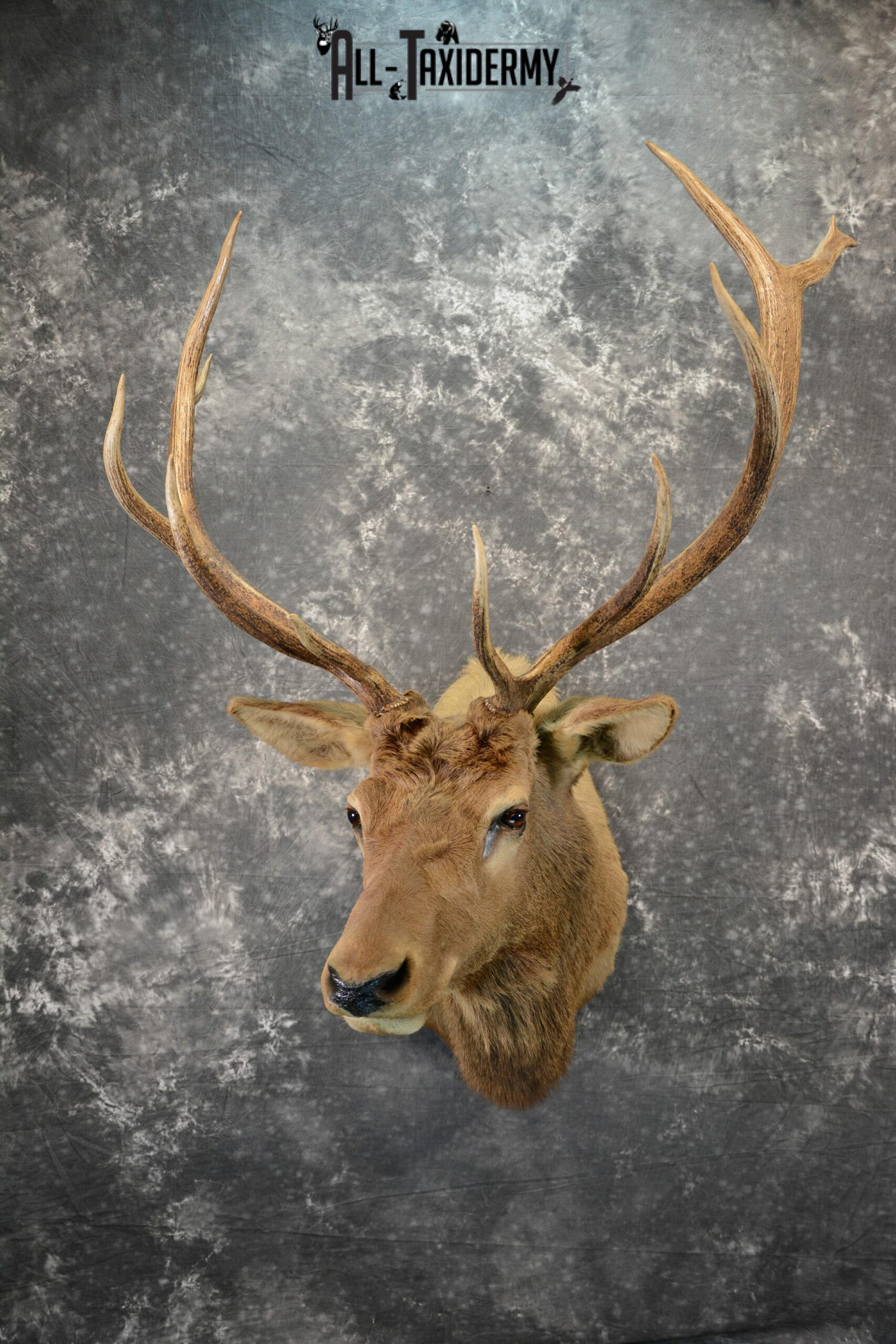 Elk Taxidermy mount for Sale SKU 1071