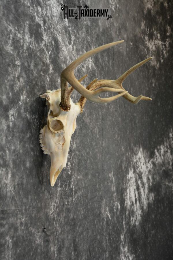 European deer mount