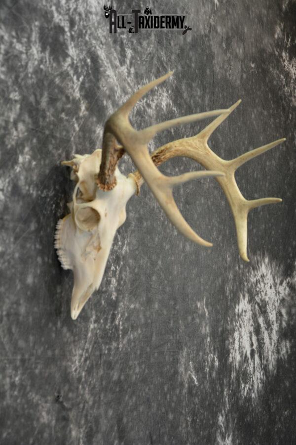 European mount taxidermy
