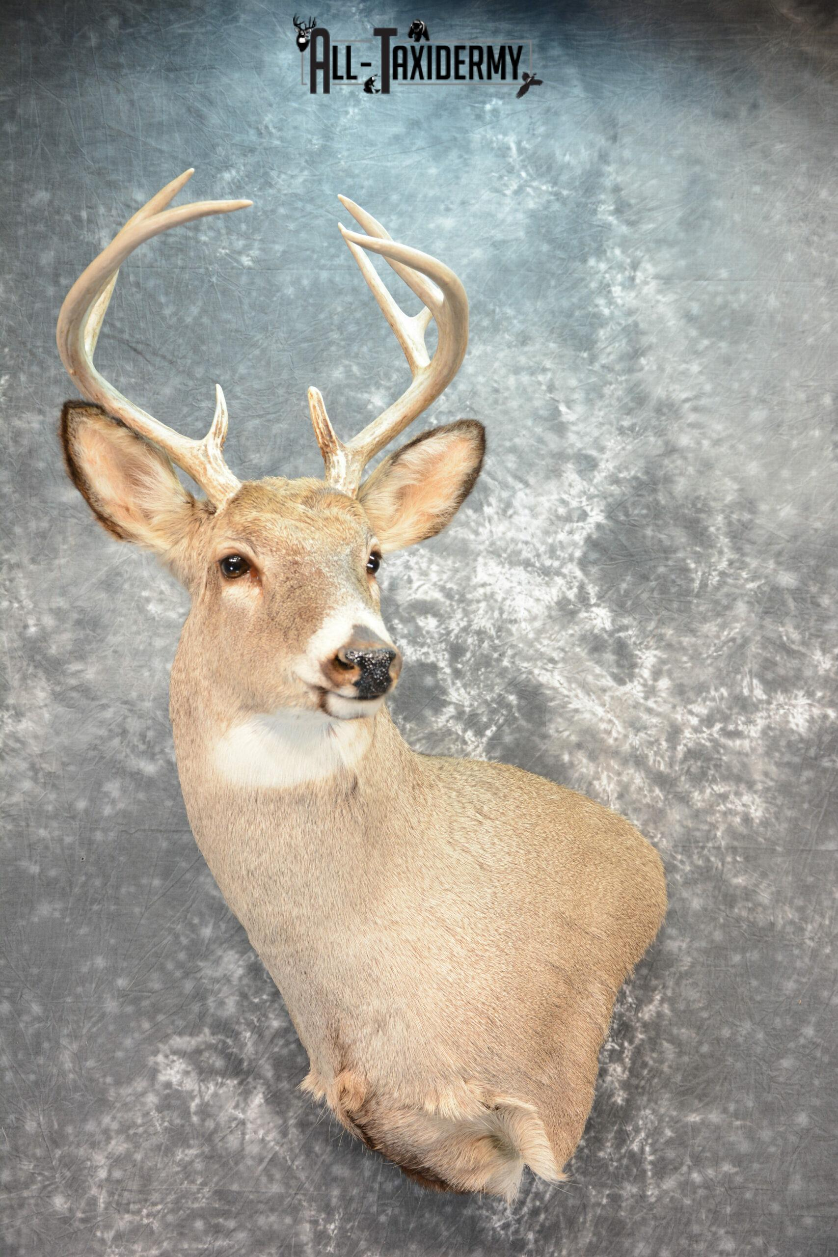 Whitetail Deer Taxidermy mount for Sale SKU 1075