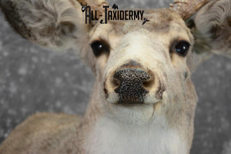 full sneak mule deer mount